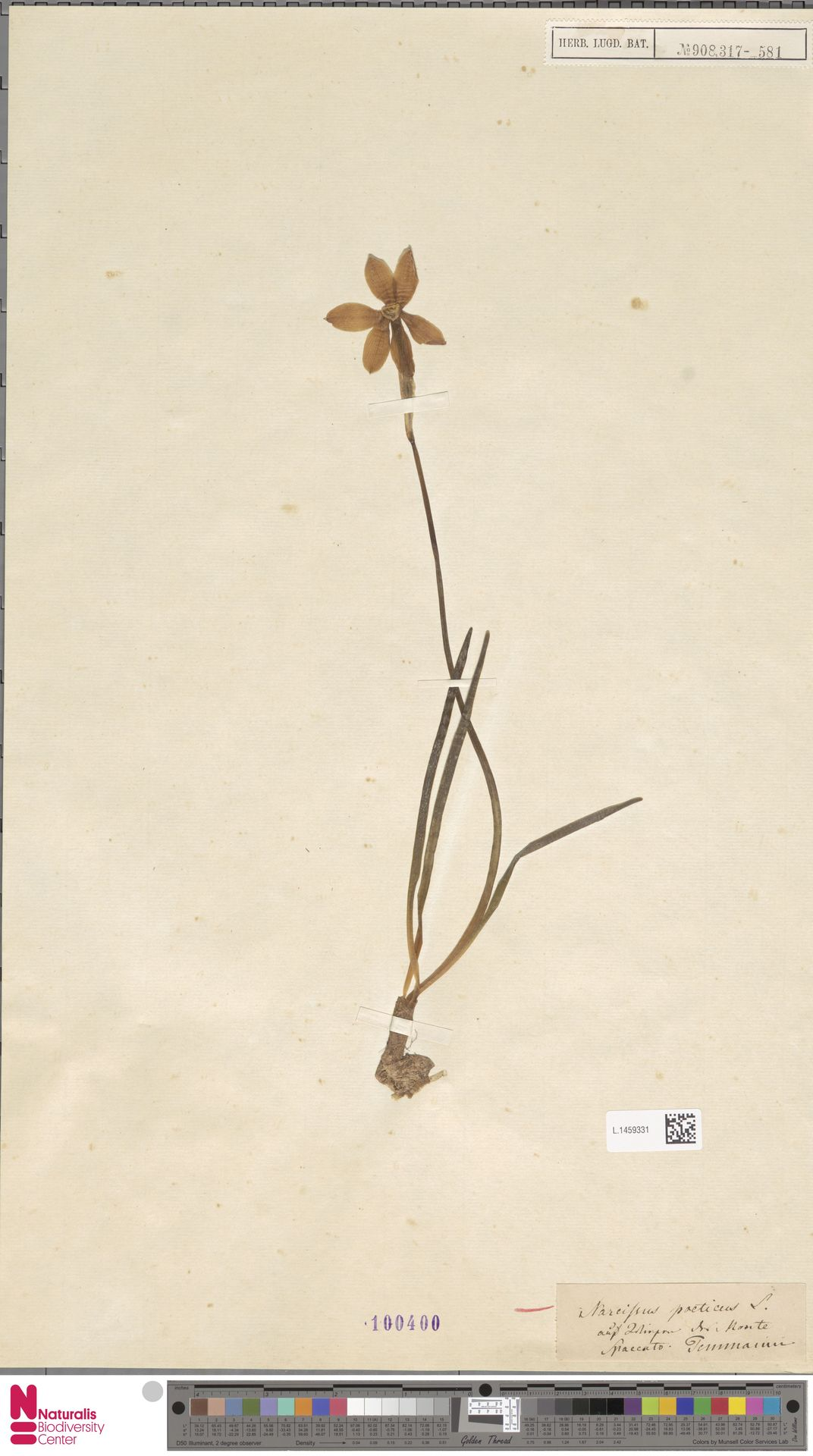 L.1459331 | Narcissus poeticus L.