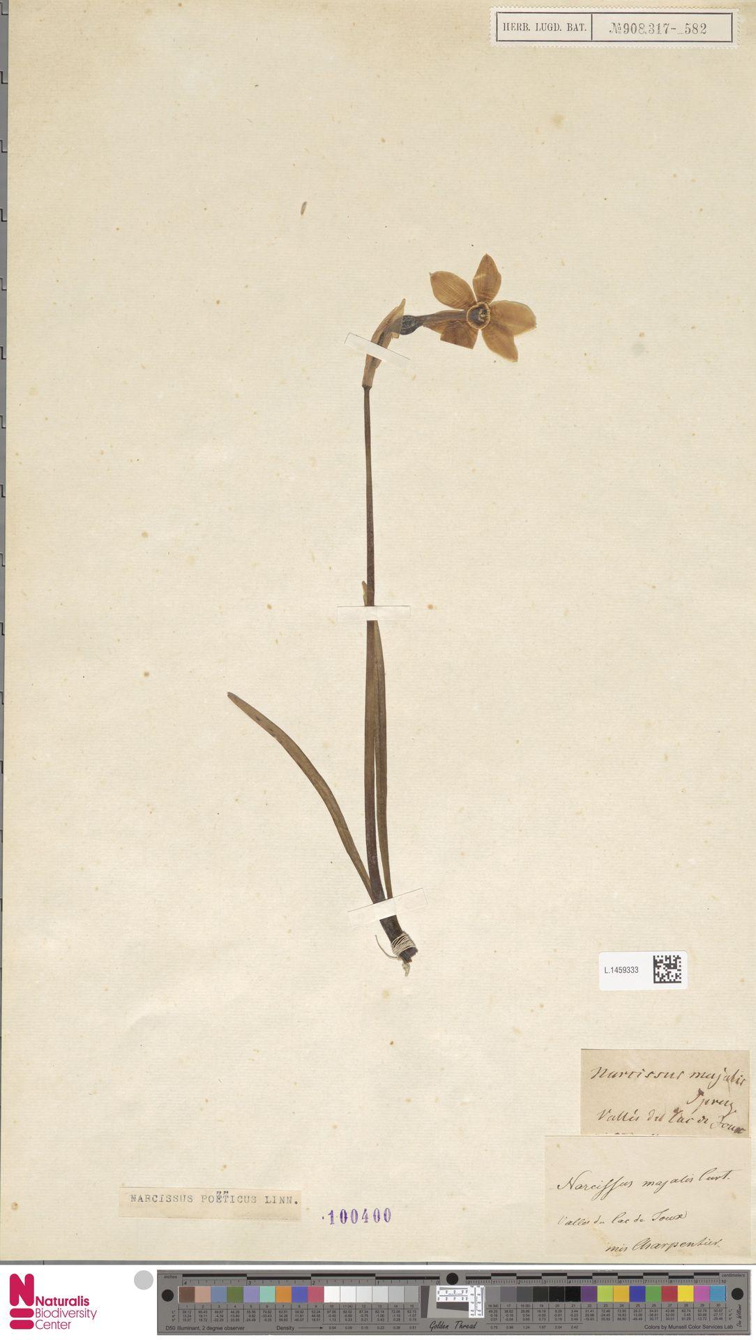 L.1459333 | Narcissus poeticus L.