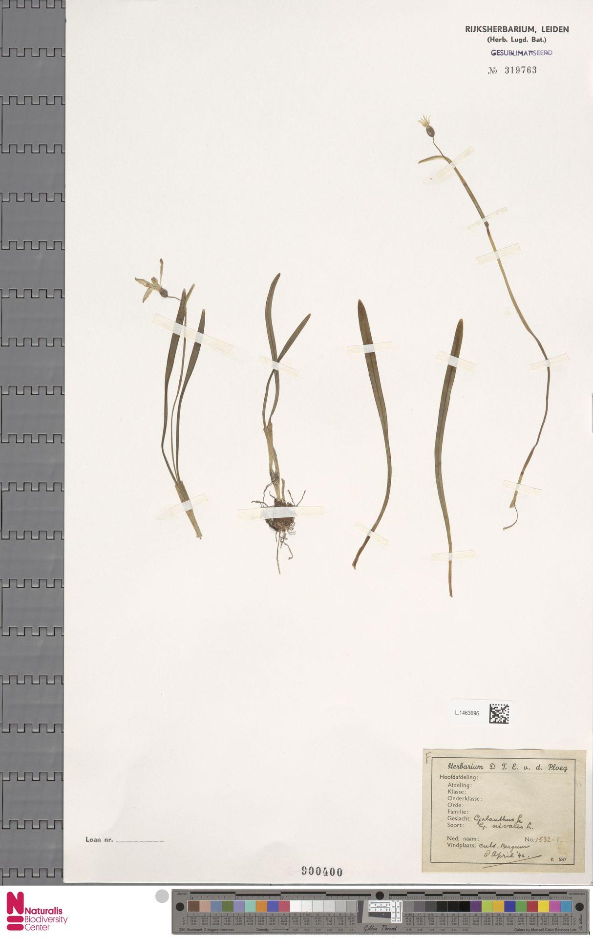 L.1463696 | Galanthus nivalis L.