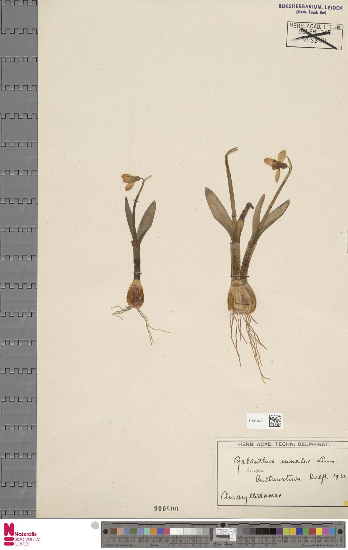 L.1463698 | Galanthus nivalis L.