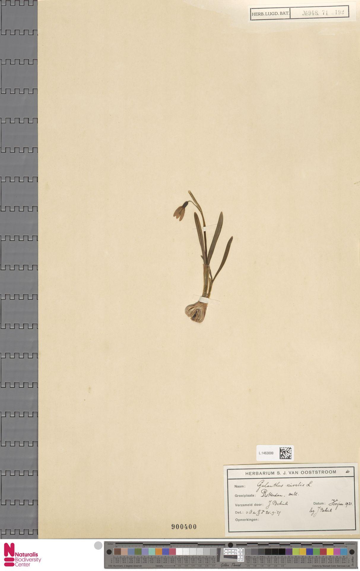 L.1463699 | Galanthus nivalis L.