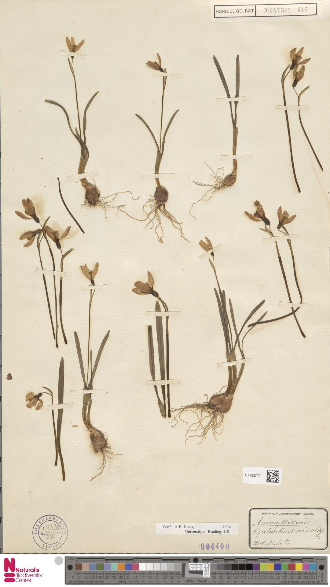 L.1463702 | Galanthus nivalis L.