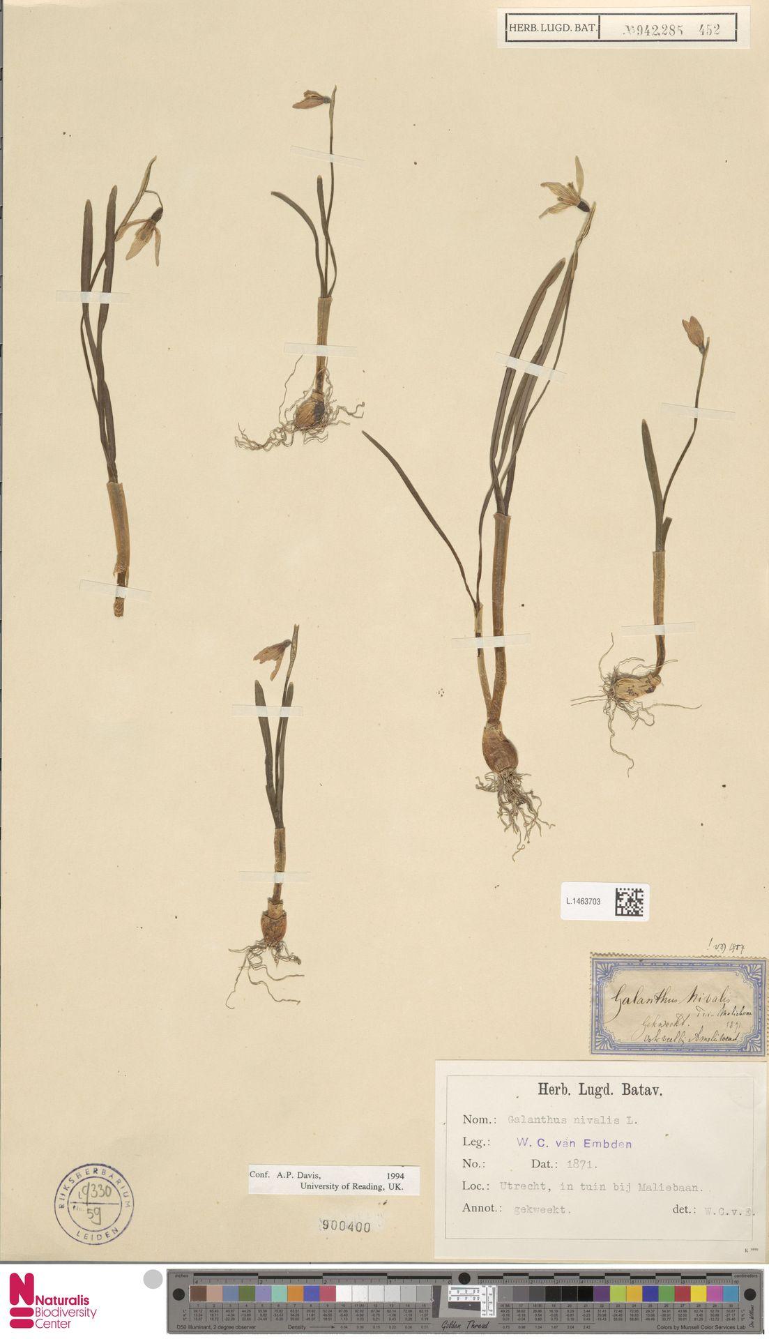 L.1463703   Galanthus nivalis L.