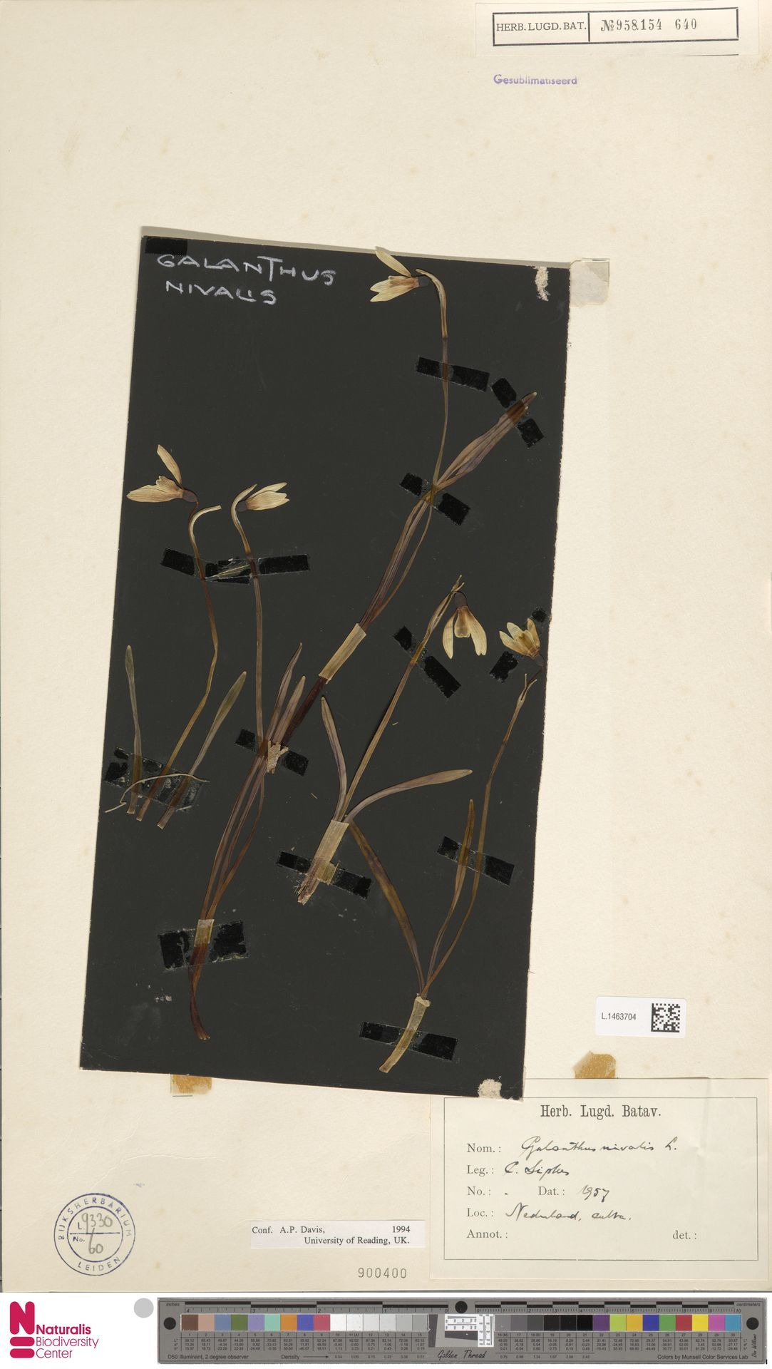 L.1463704 | Galanthus nivalis L.