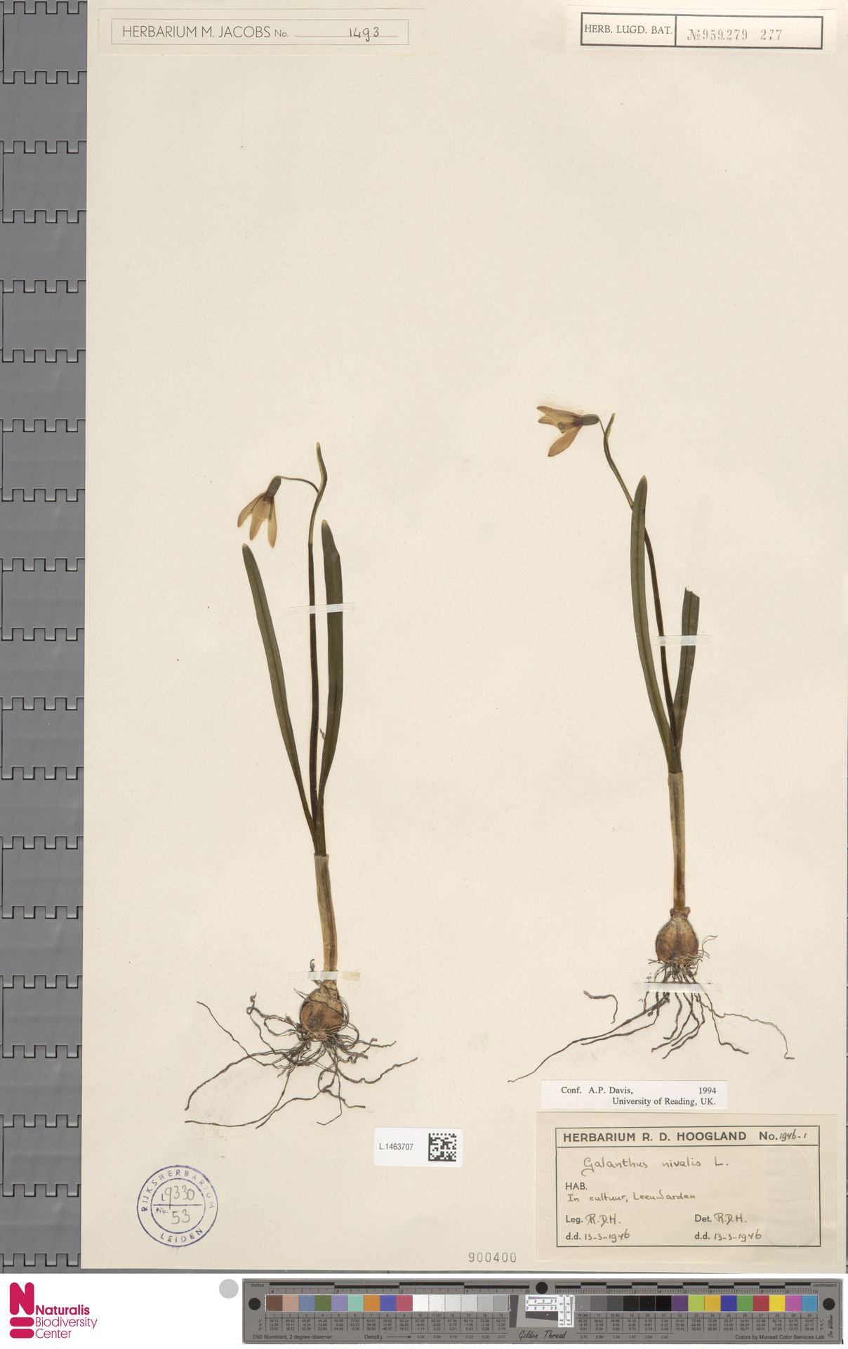 L.1463707 | Galanthus nivalis L.