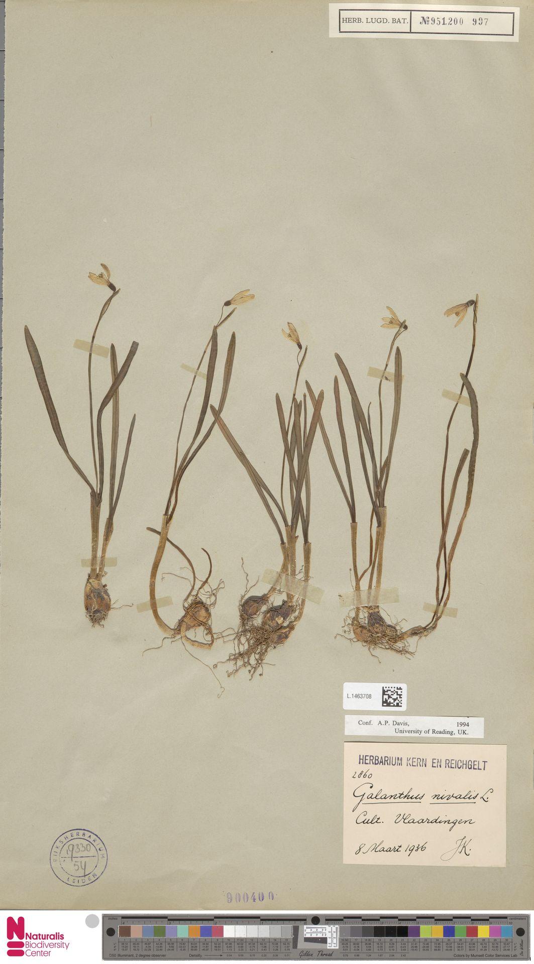L.1463708 | Galanthus nivalis L.