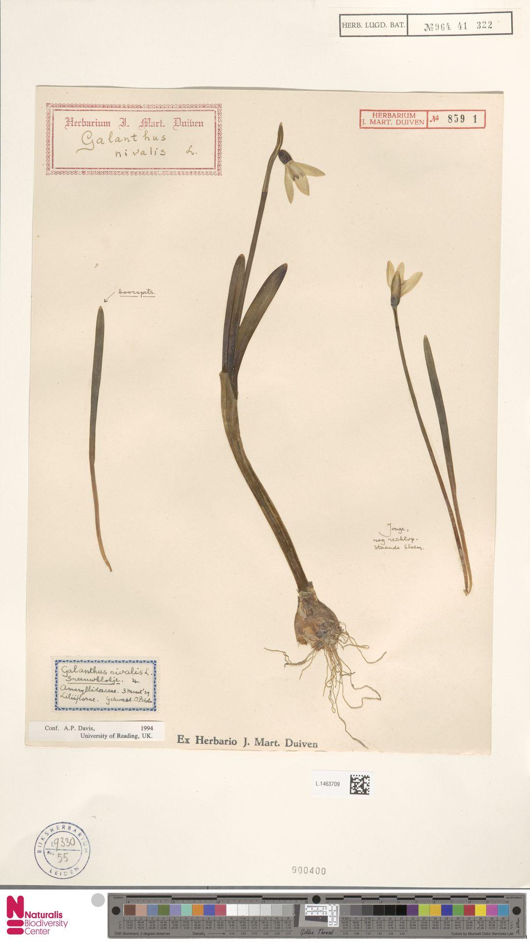 L.1463709 | Galanthus nivalis L.