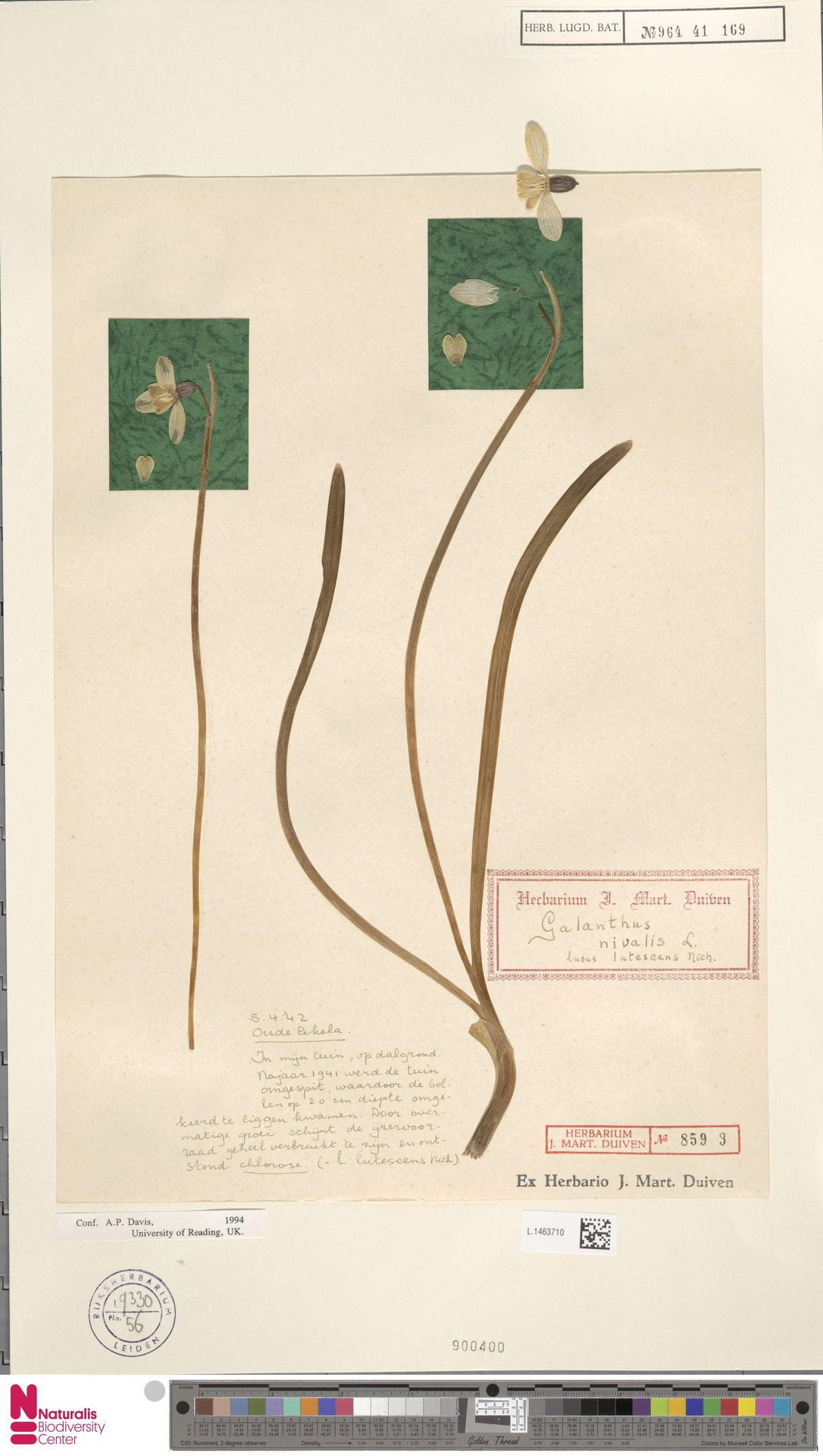 L.1463710 | Galanthus nivalis L.