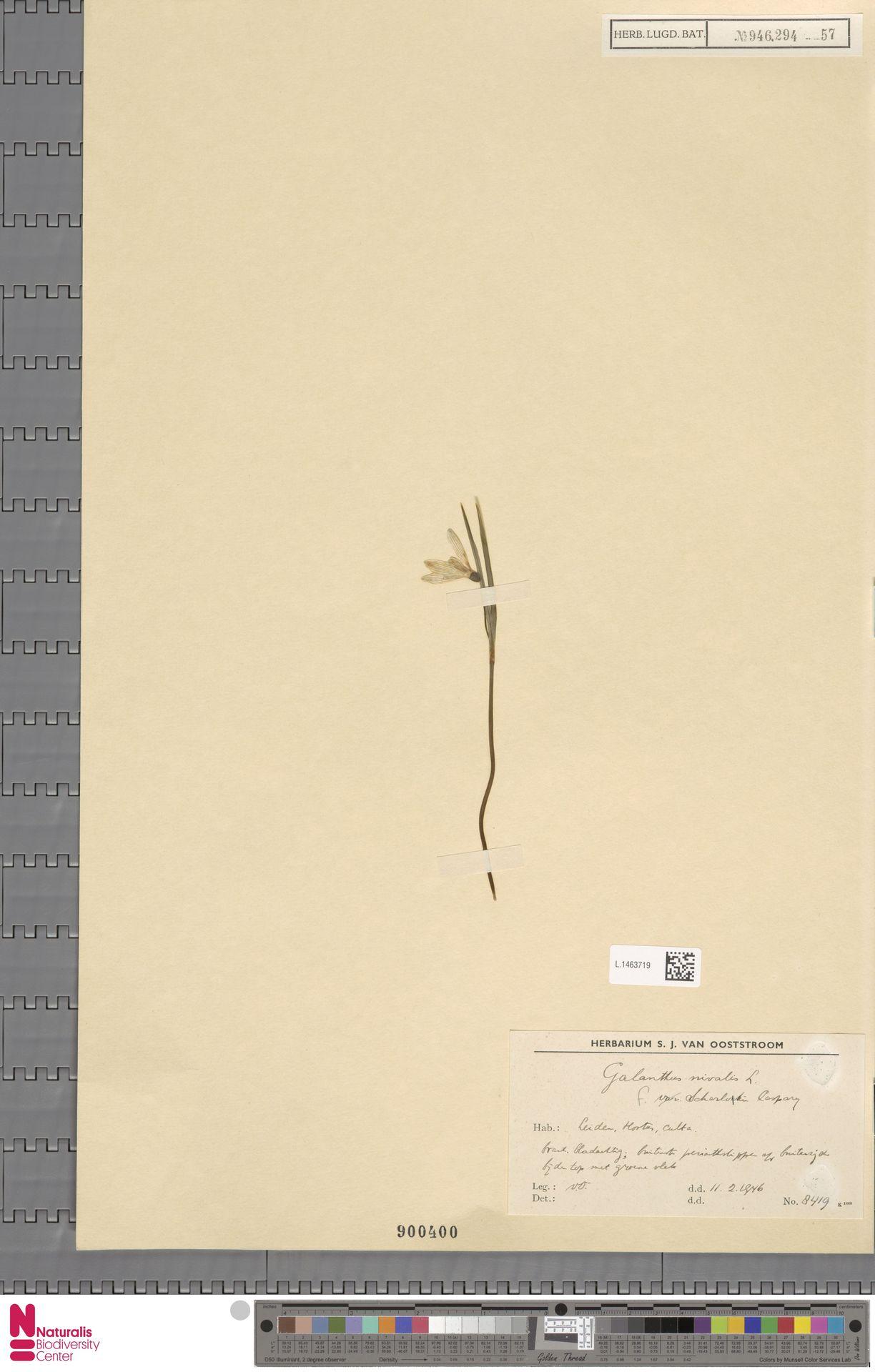 L.1463719 | Galanthus nivalis f. scharlokii