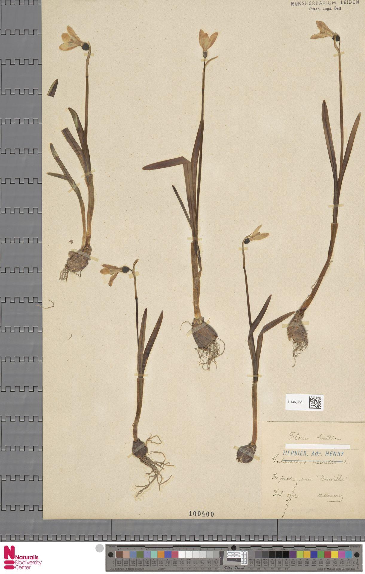 L.1463751 | Galanthus nivalis L.