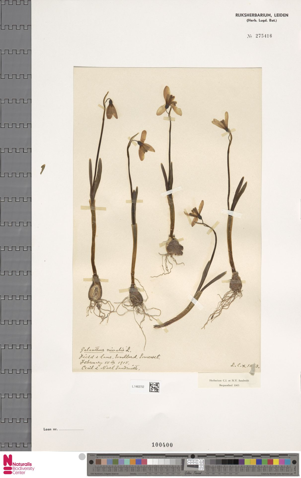 L.1463752   Galanthus nivalis L.