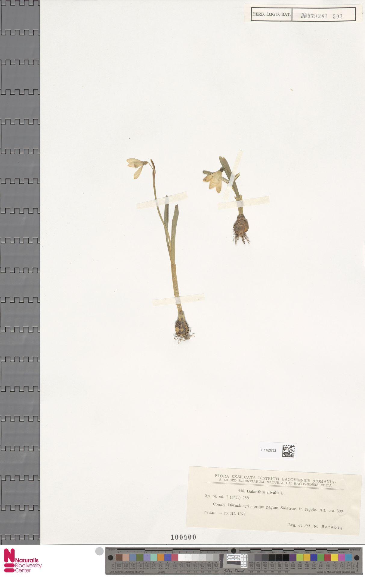 L.1463753 | Galanthus nivalis L.