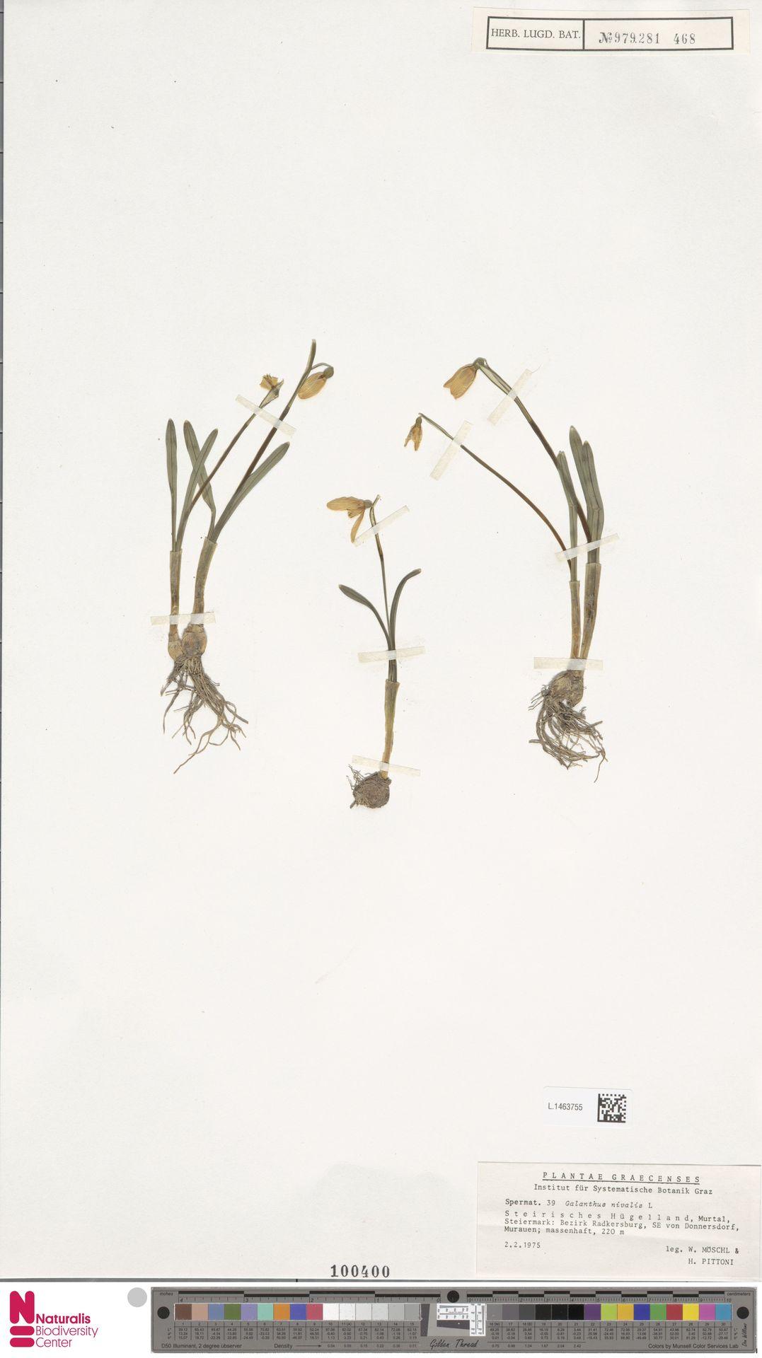 L.1463755 | Galanthus nivalis L.