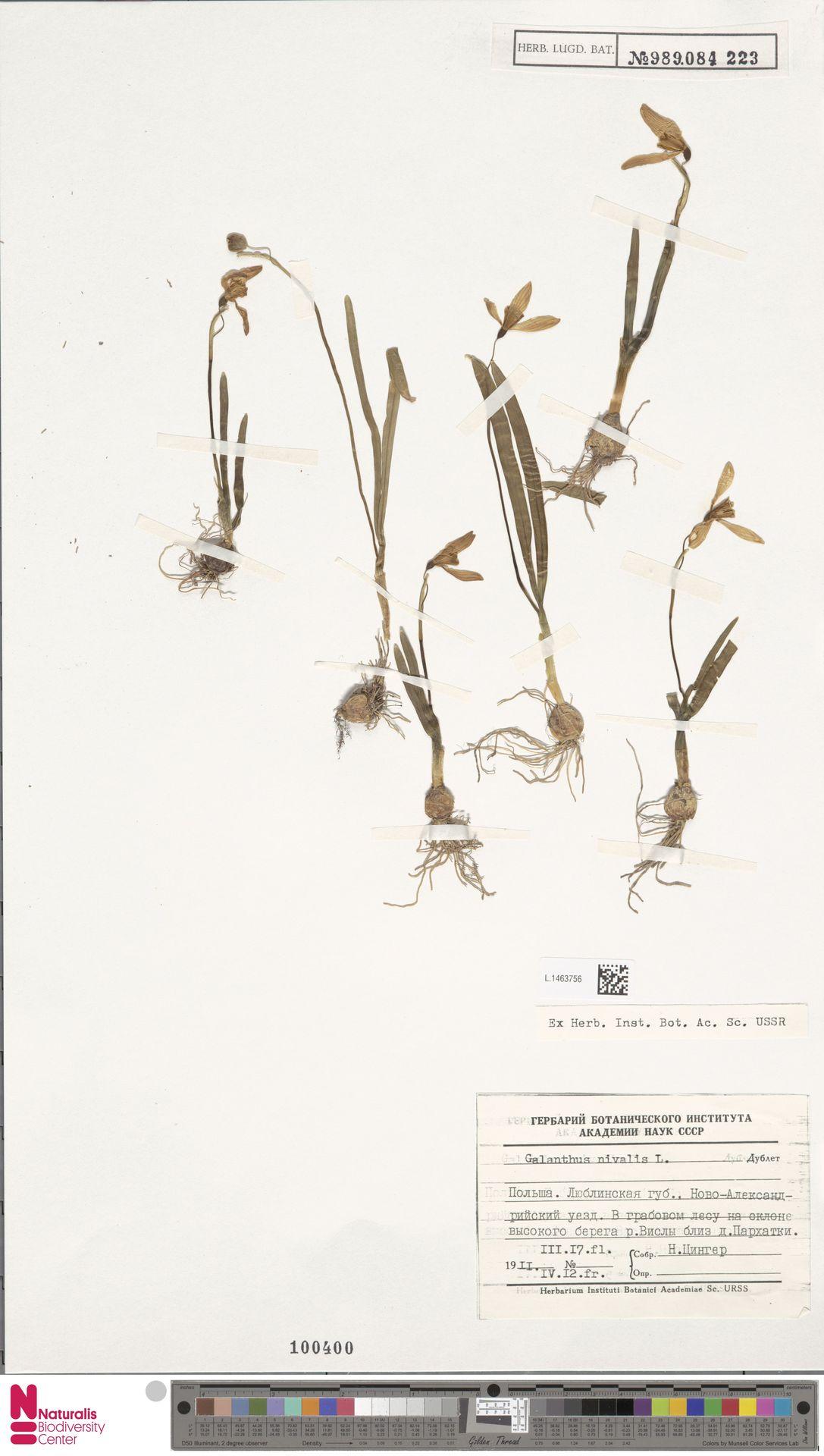 L.1463756 | Galanthus nivalis L.