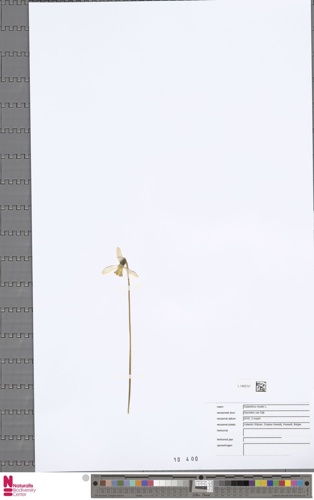 L.1463757 | Galanthus nivalis L.