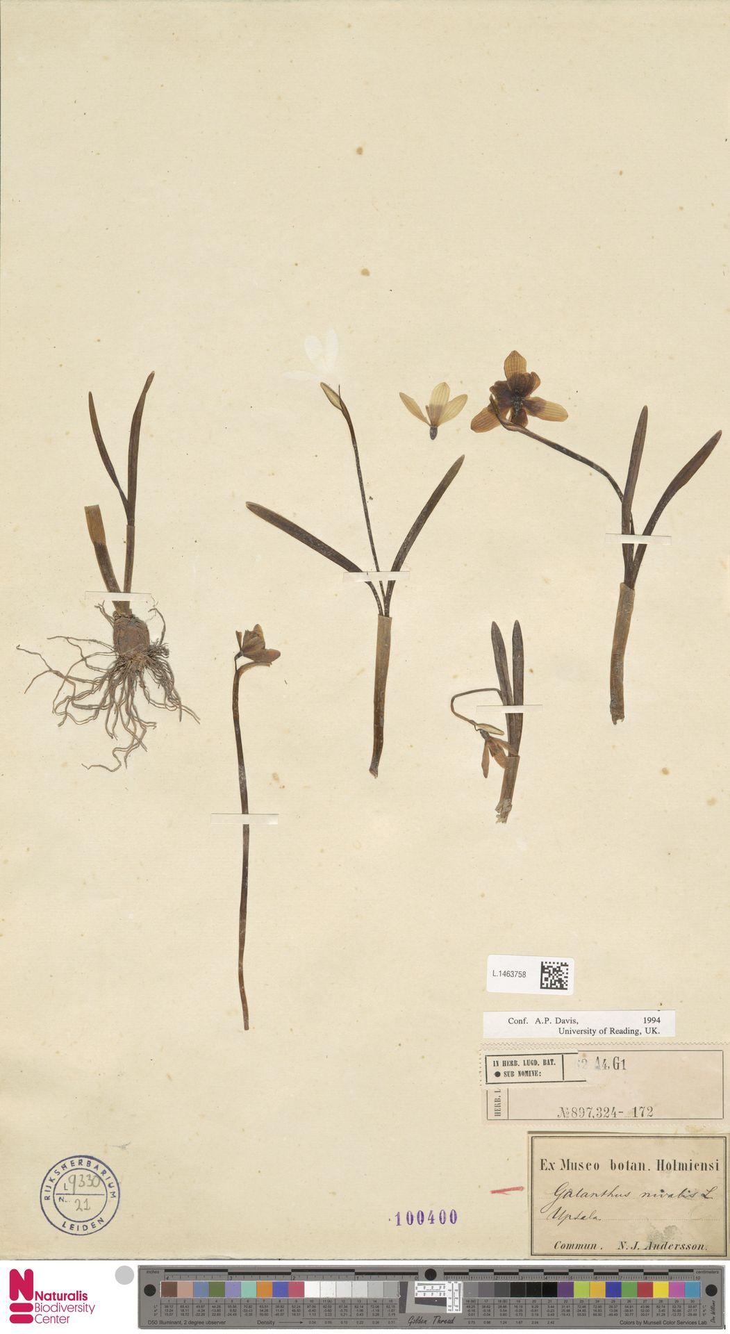 L.1463758   Galanthus nivalis L.