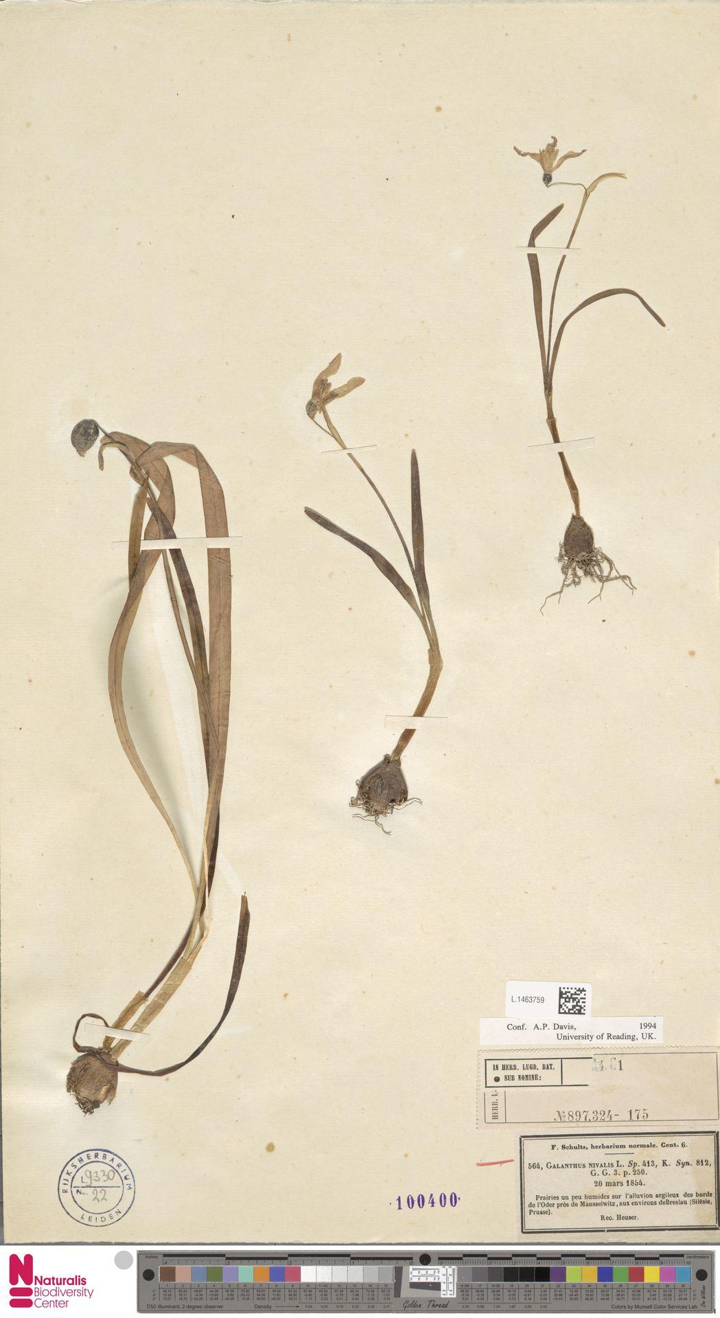L.1463759 | Galanthus nivalis L.