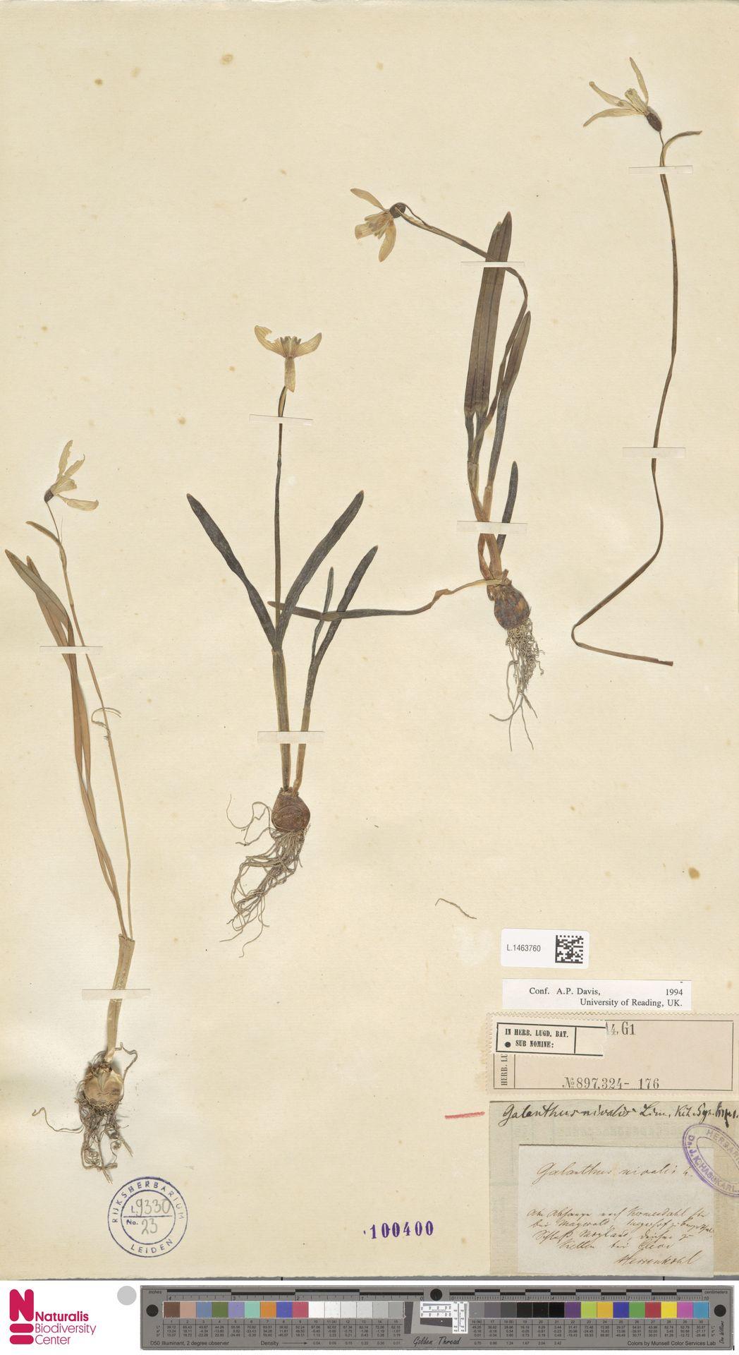 L.1463760 | Galanthus nivalis L.