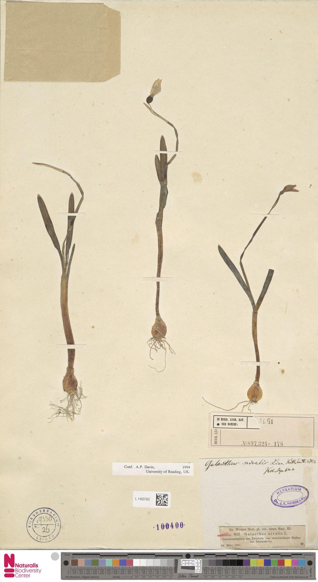 L.1463763 | Galanthus nivalis L.