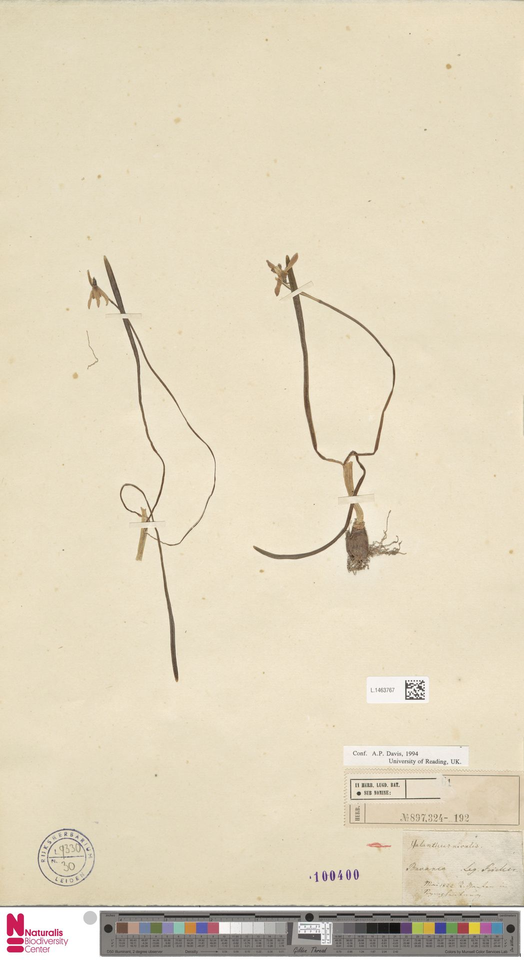 L.1463767 | Galanthus nivalis L.