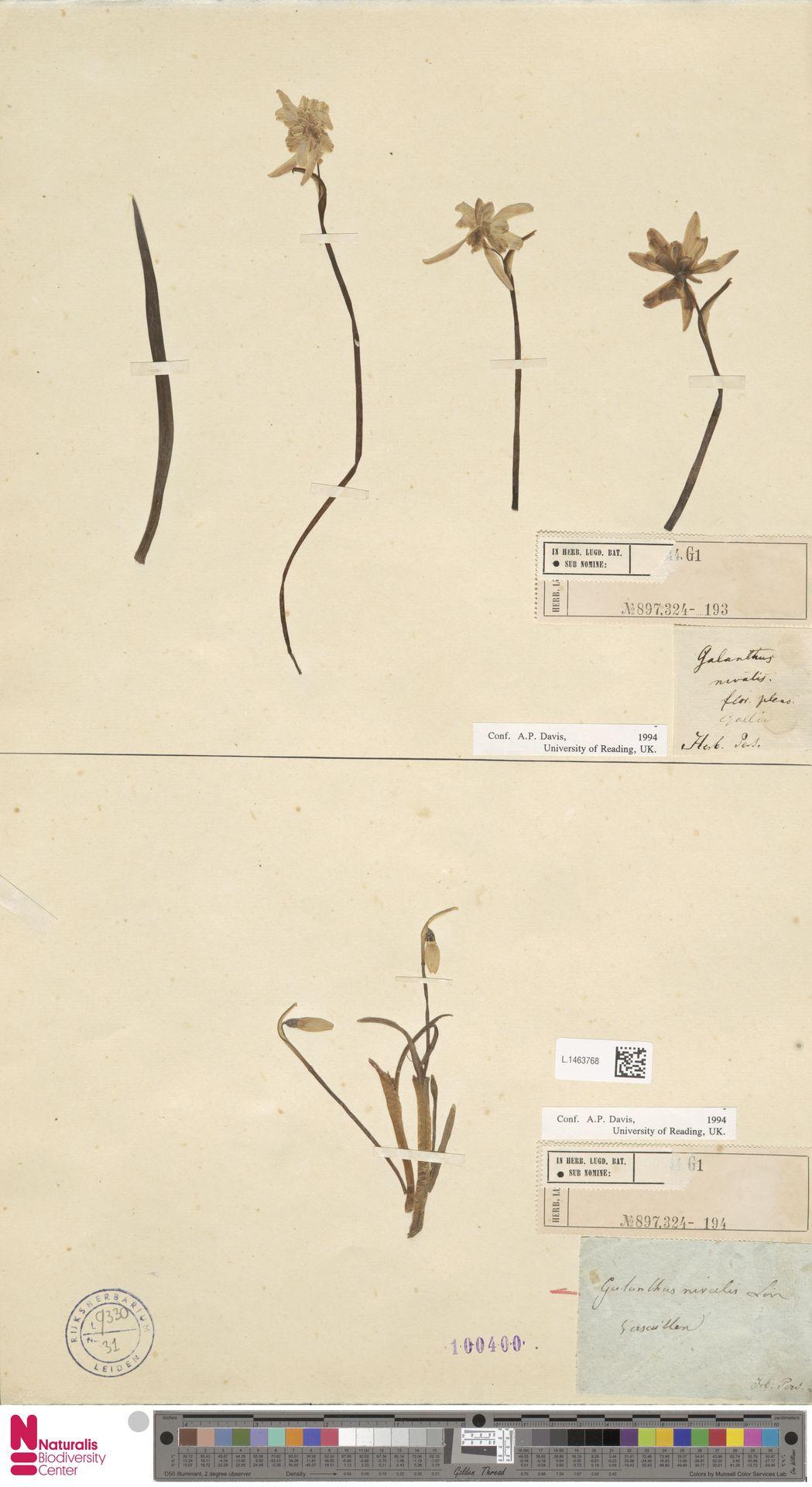 L.1463768 | Galanthus nivalis L.