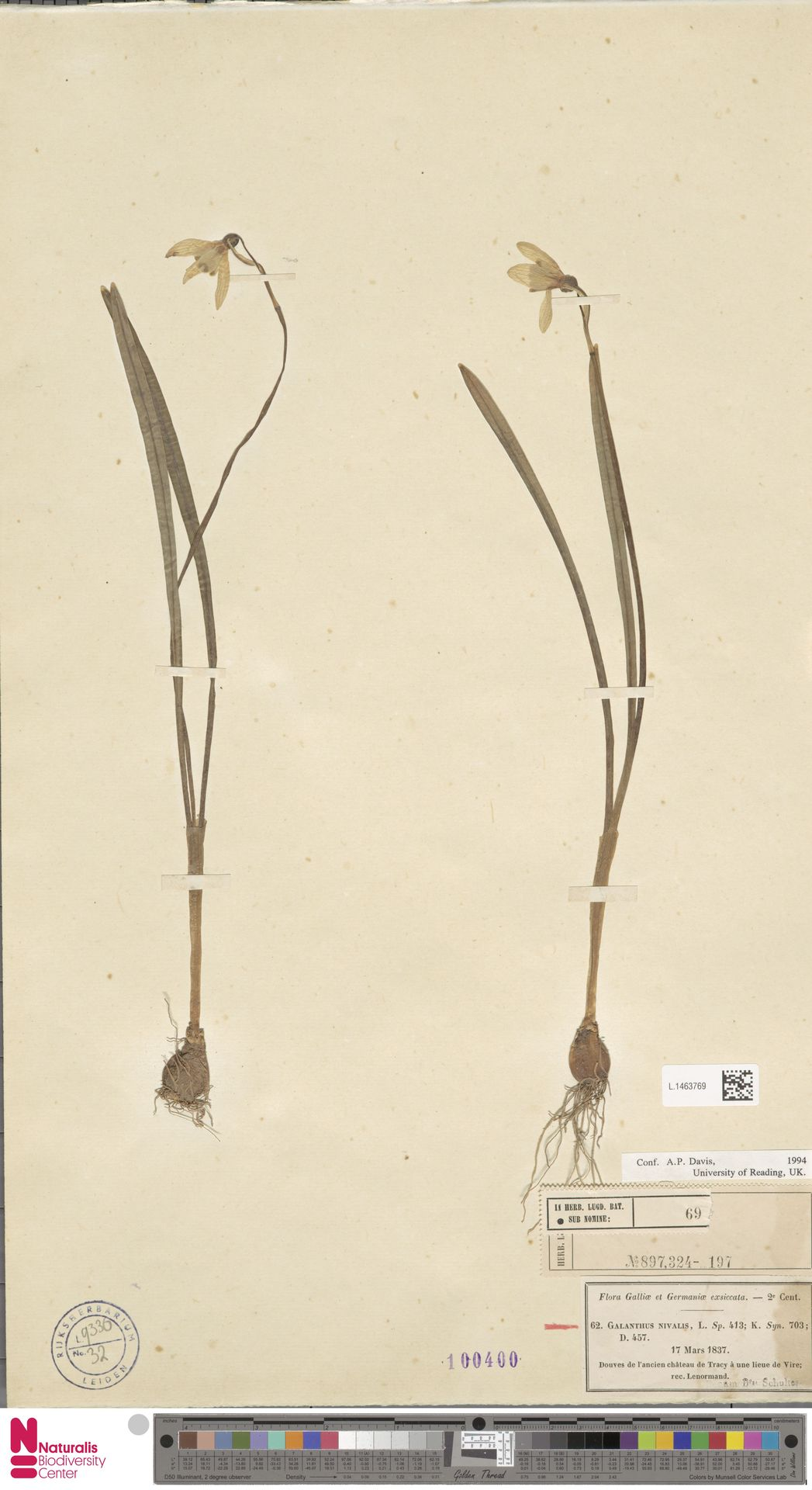 L.1463769 | Galanthus nivalis L.
