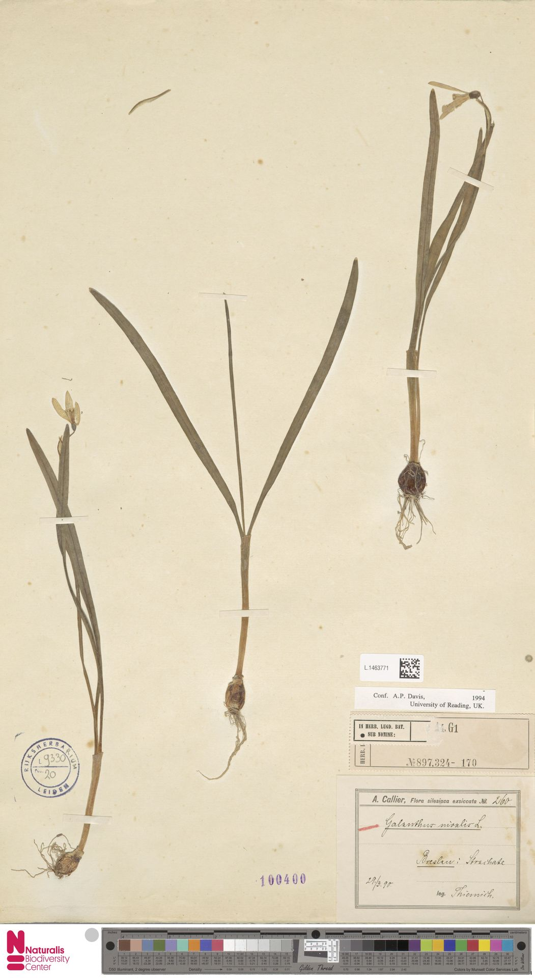 L.1463771 | Galanthus nivalis L.
