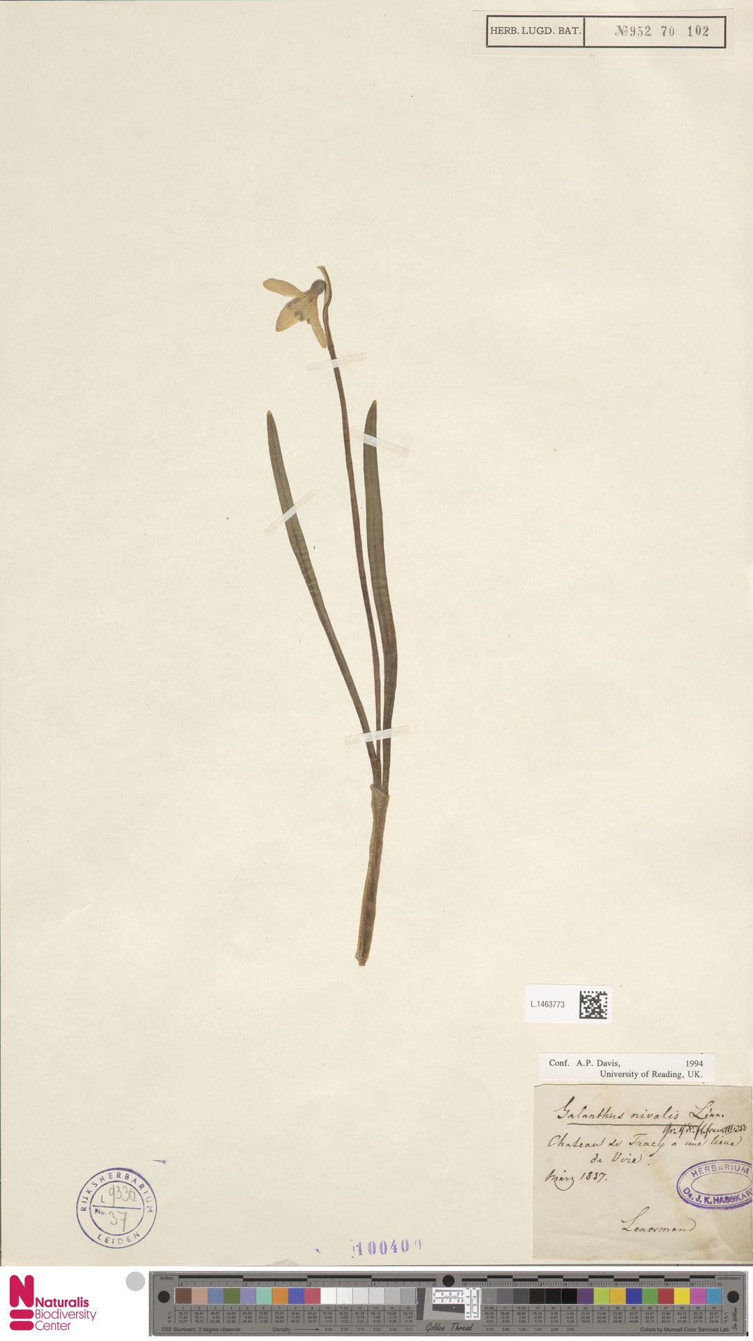L.1463773 | Galanthus nivalis L.