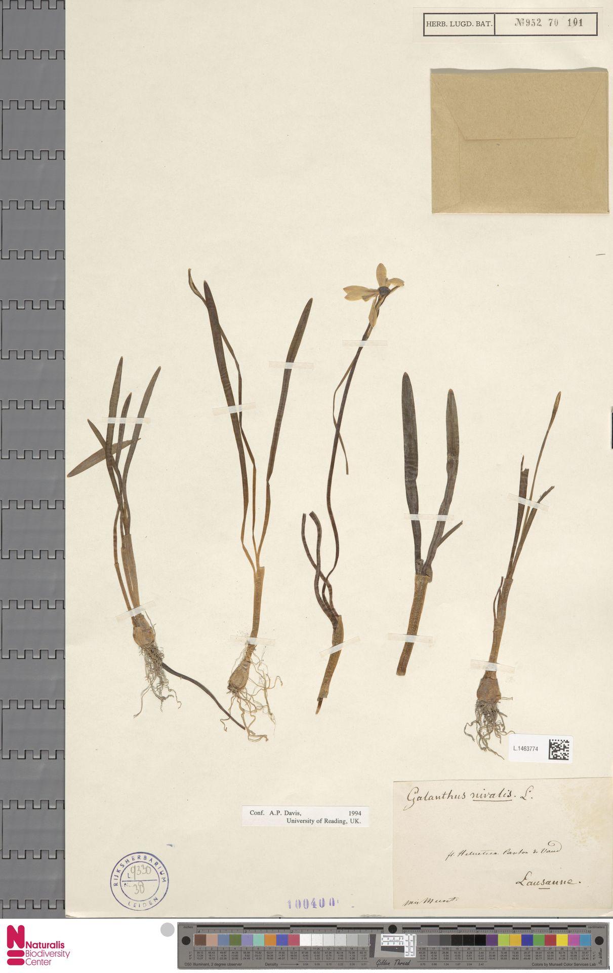 L.1463774 | Galanthus nivalis L.