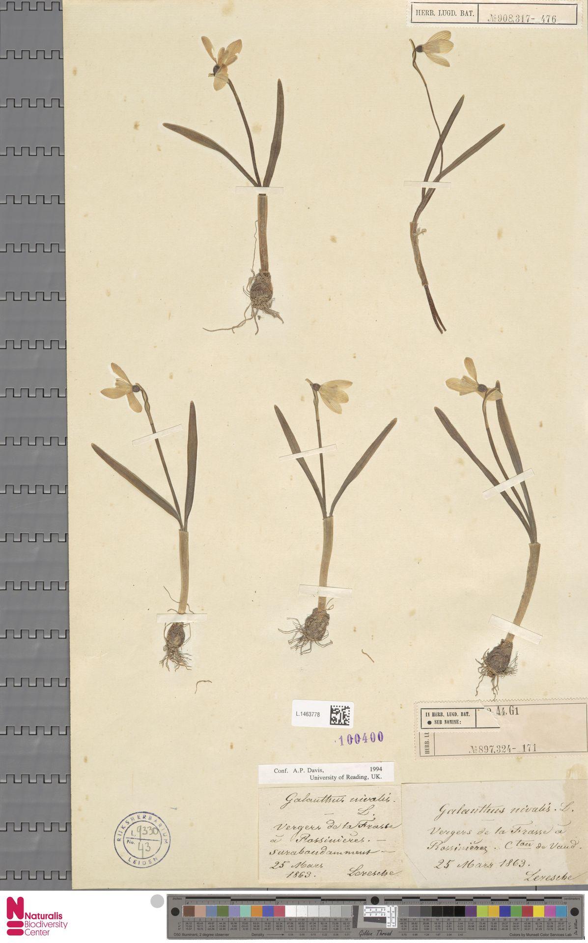 L.1463778   Galanthus nivalis L.