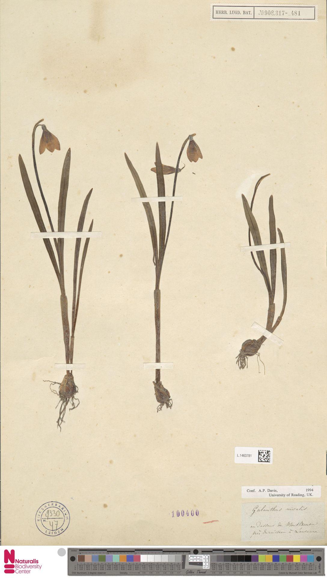L.1463781 | Galanthus nivalis L.