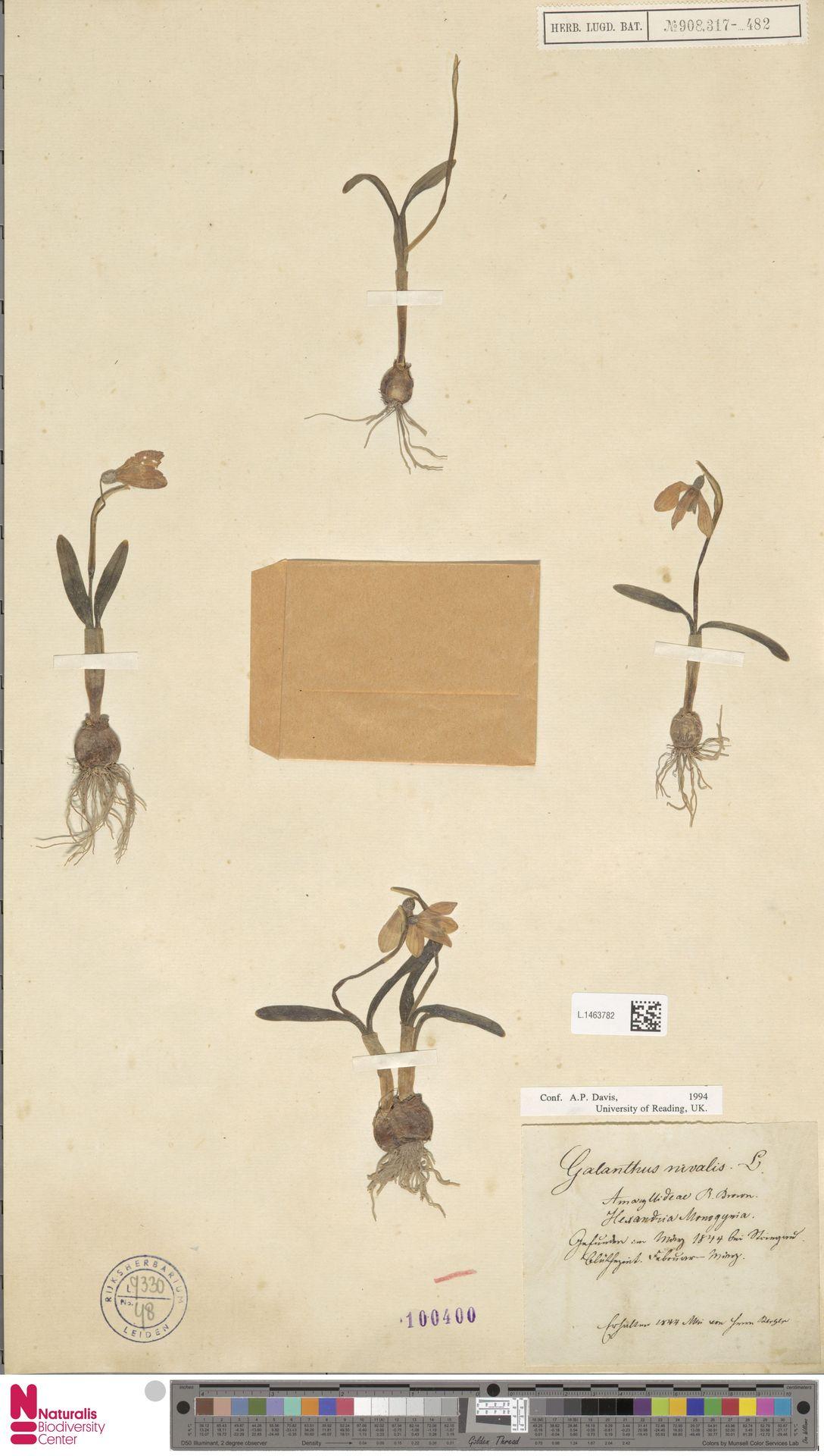 L.1463782 | Galanthus nivalis L.