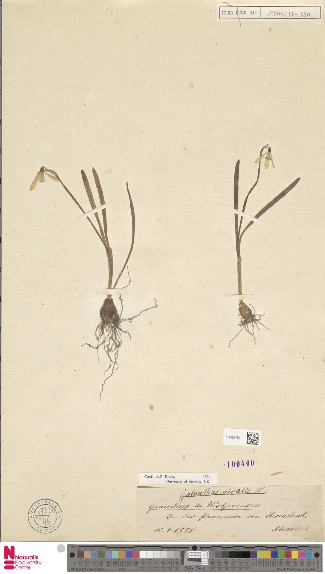 L.1463784 | Galanthus nivalis L.