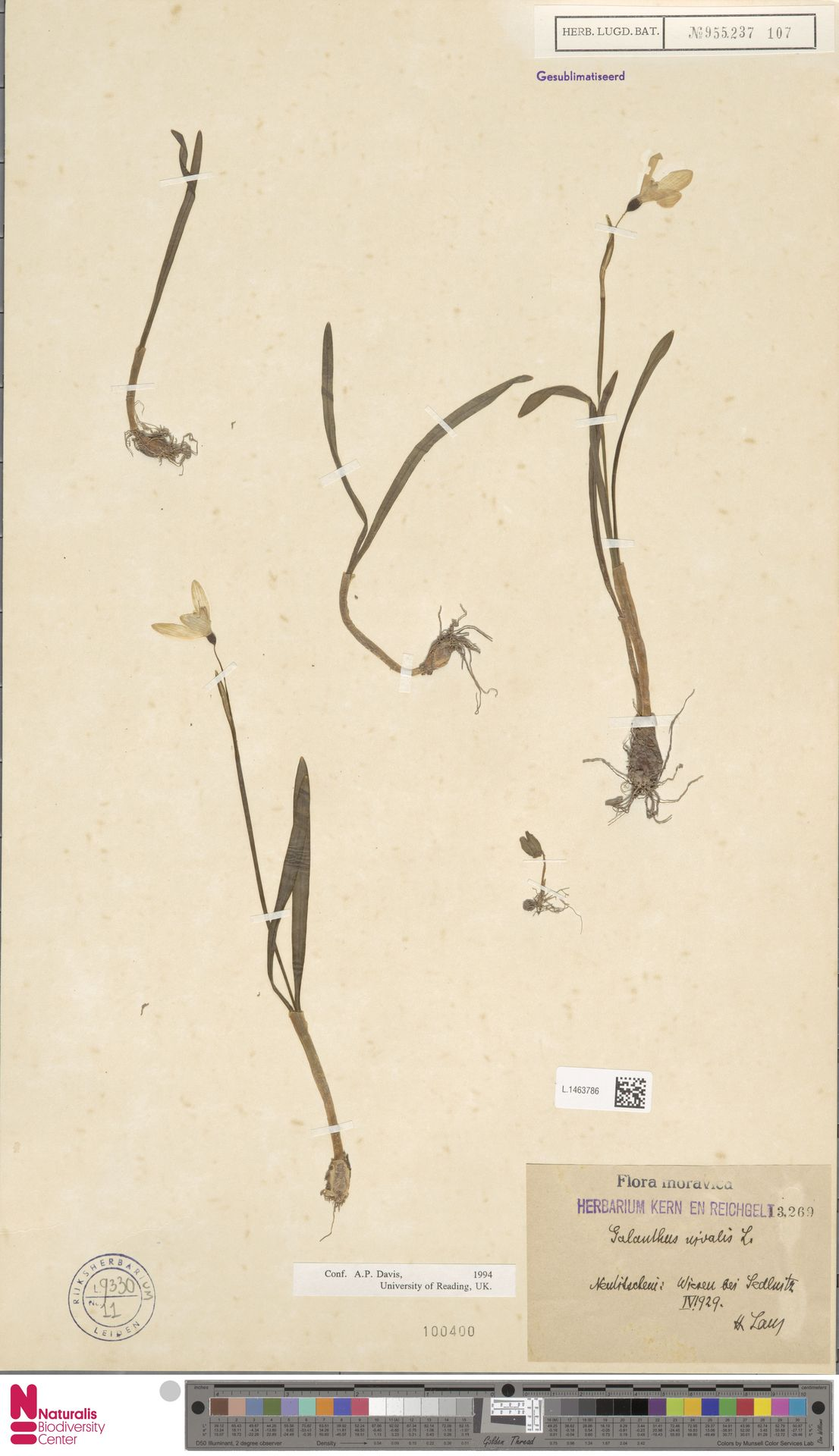 L.1463786 | Galanthus nivalis L.