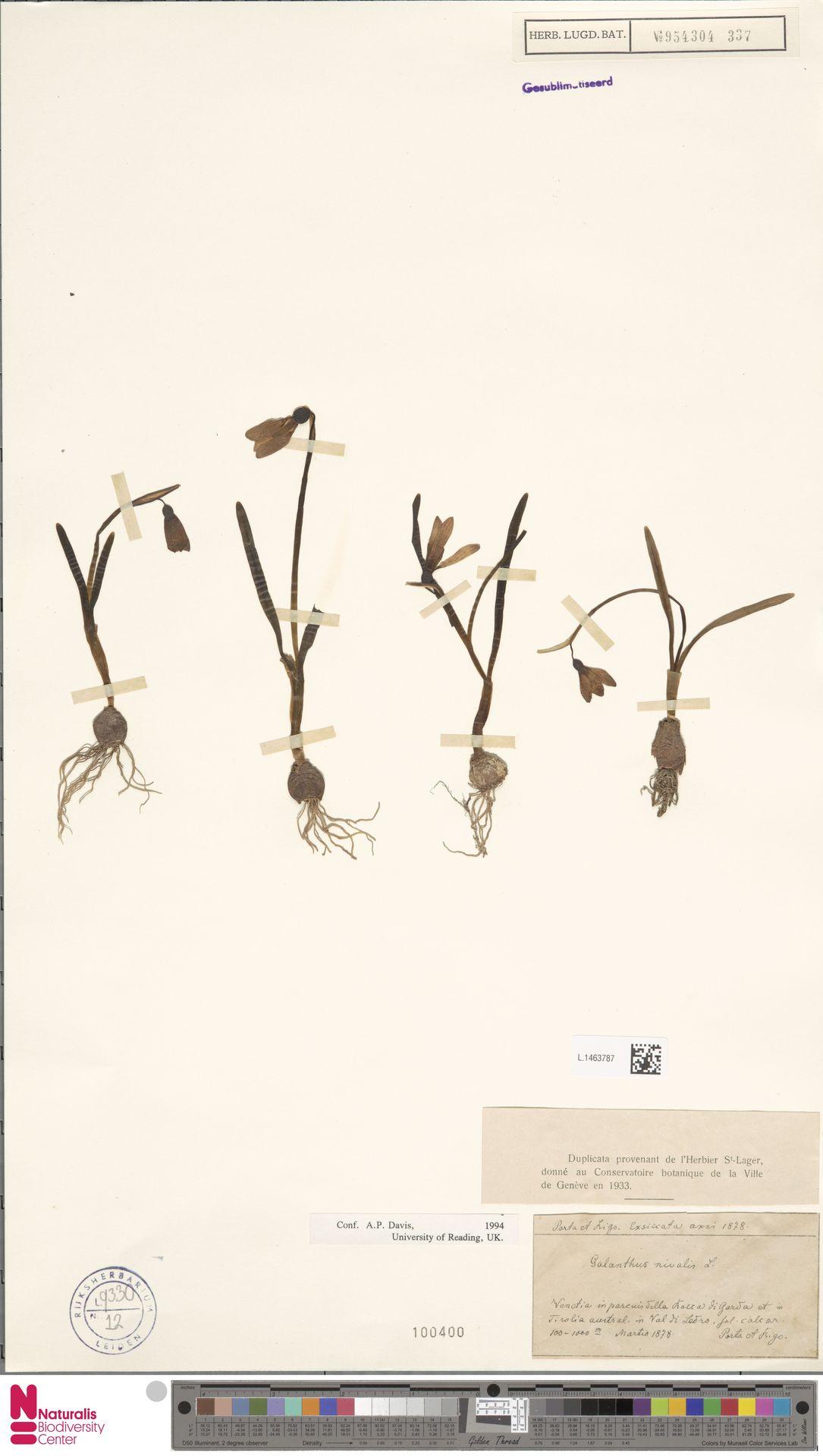 L.1463787 | Galanthus nivalis L.