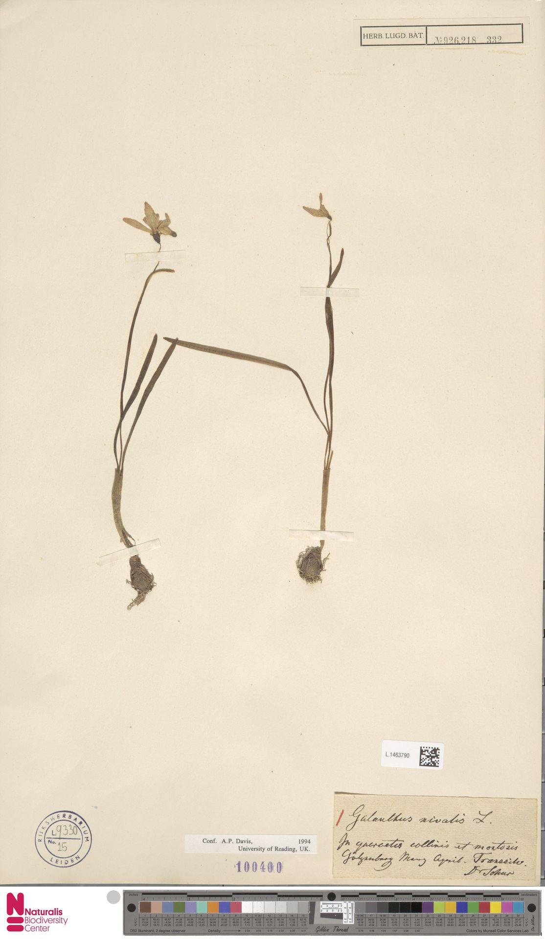 L.1463790   Galanthus nivalis L.