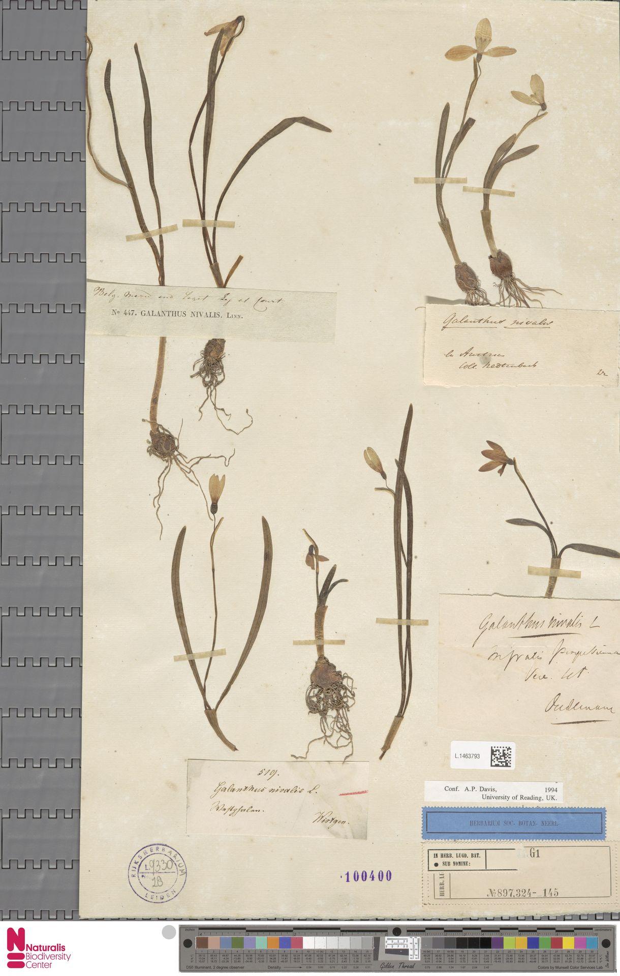 L.1463793 | Galanthus nivalis L.