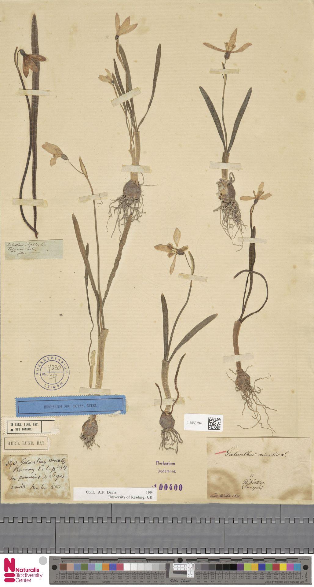L.1463794 | Galanthus nivalis L.