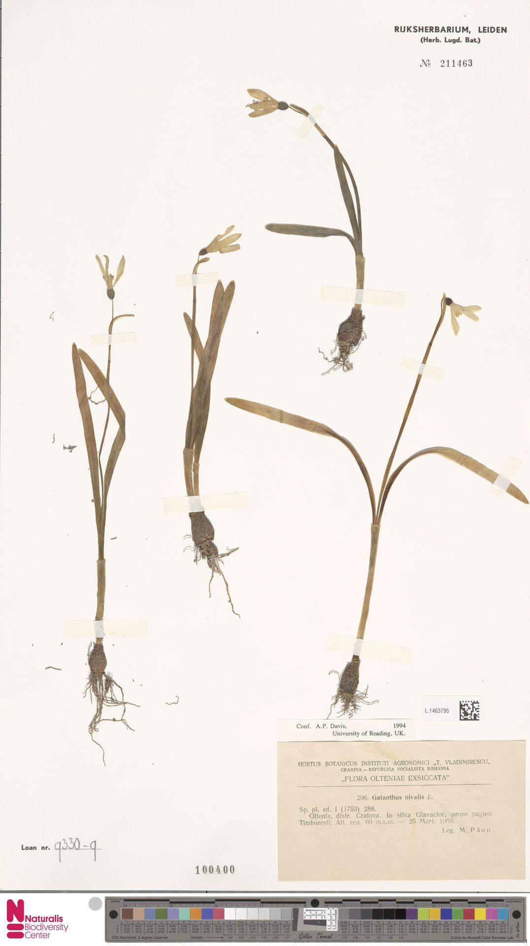 L.1463795 | Galanthus nivalis L.