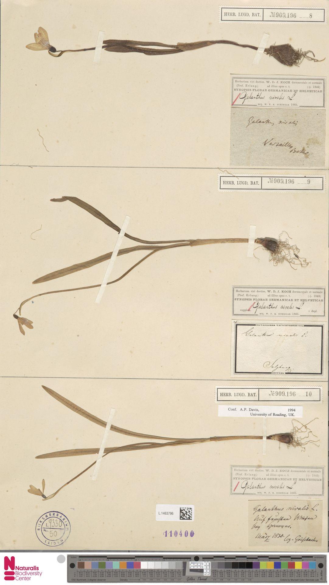 L.1463796 | Galanthus nivalis L.