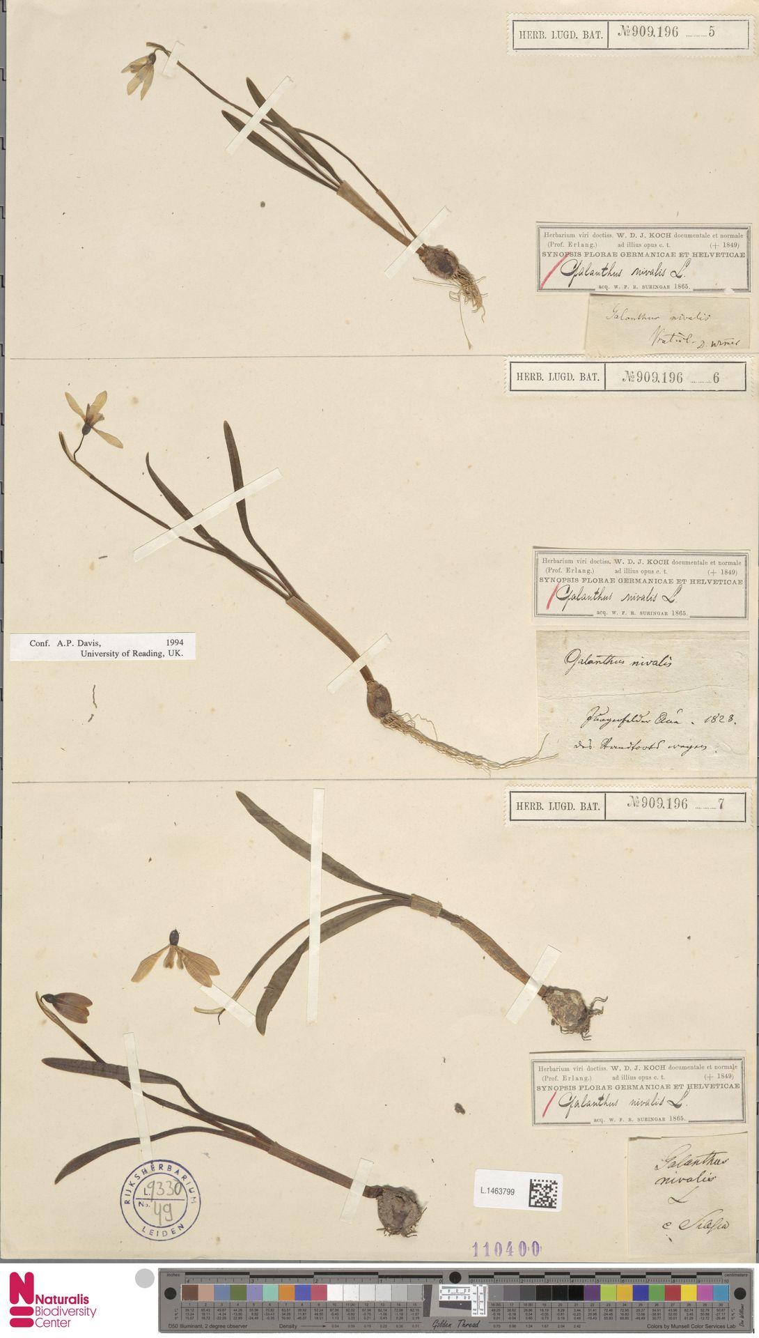 L.1463799   Galanthus nivalis L.