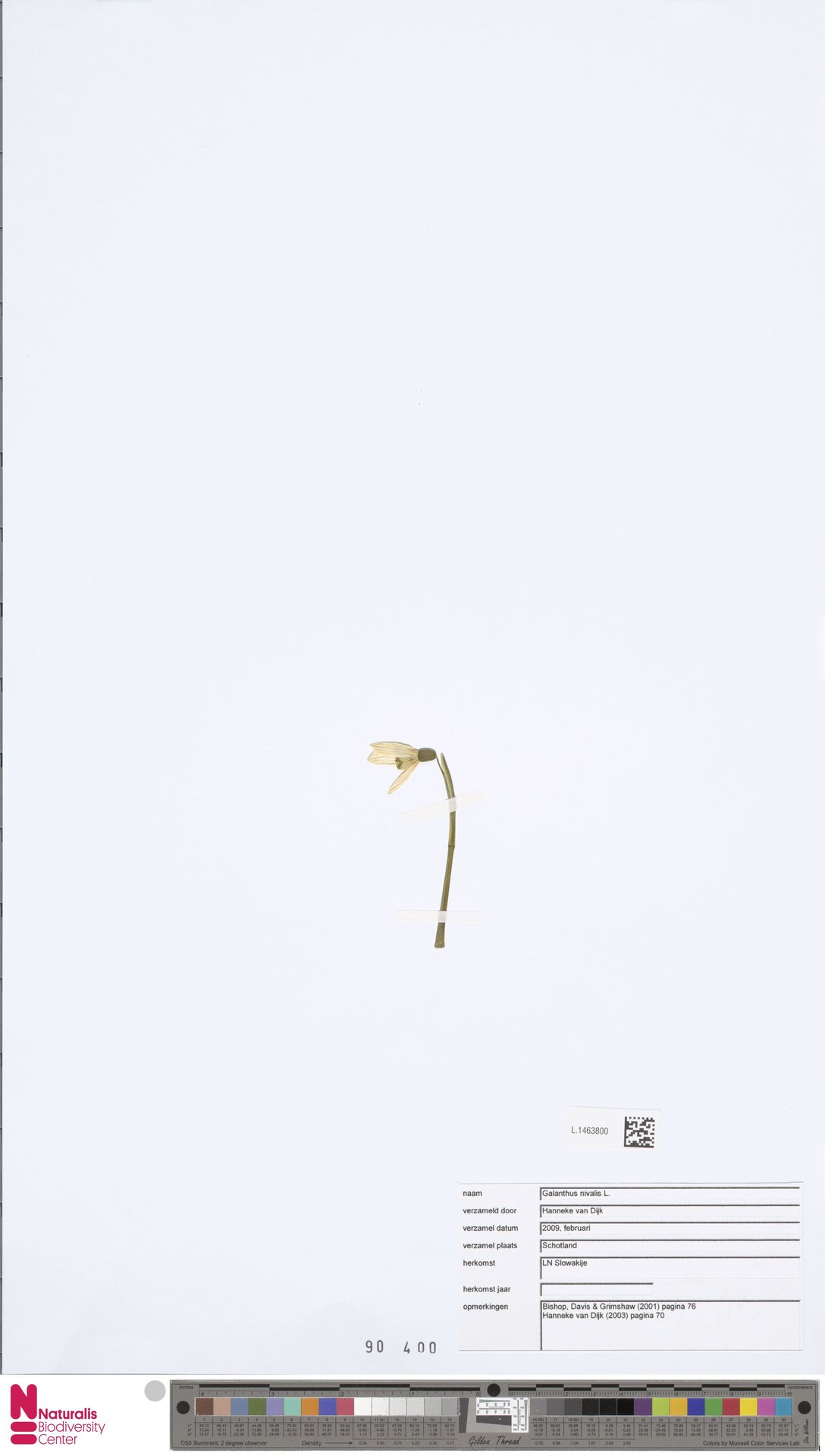 L.1463800 | Galanthus nivalis L.