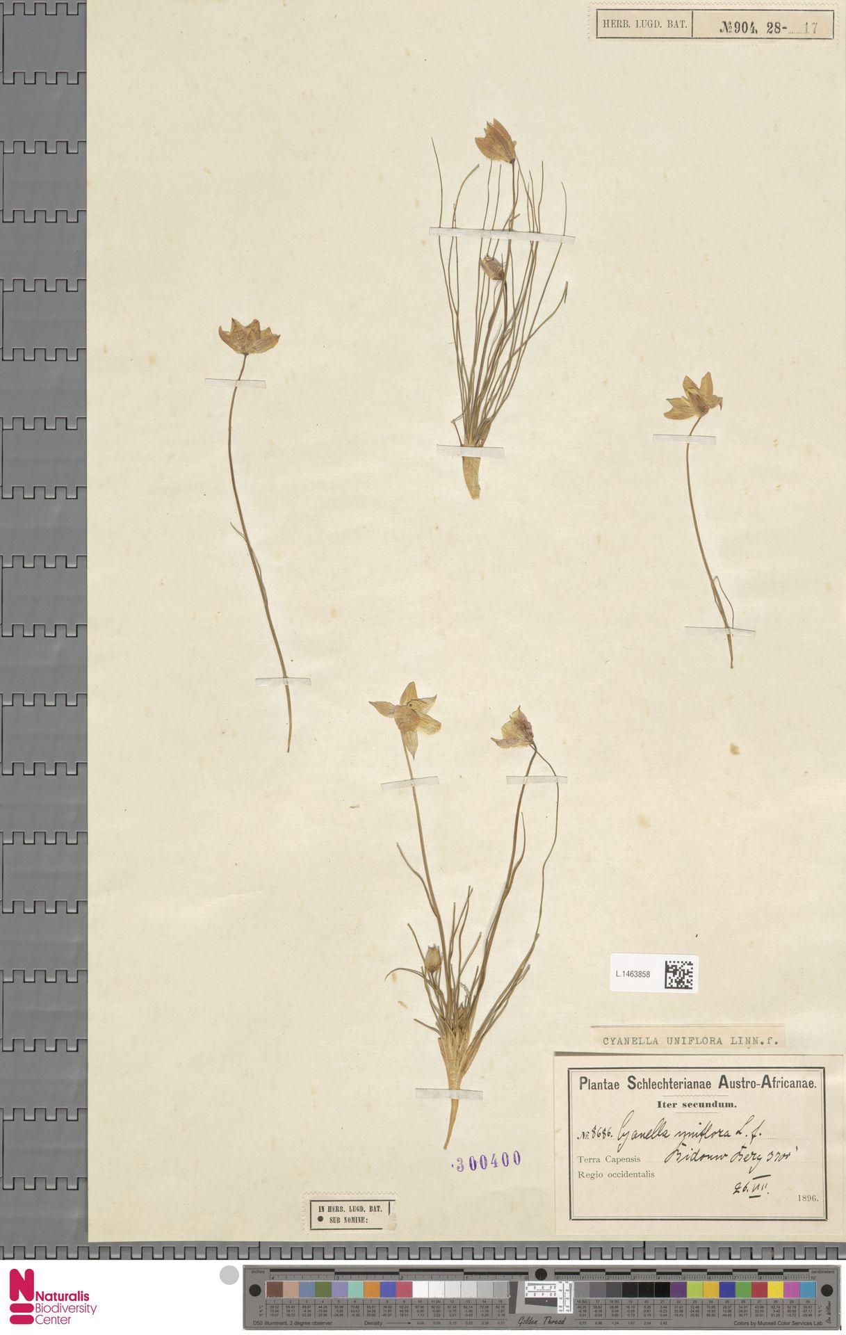 L.1463858 | Cyanella uniflora L.f.