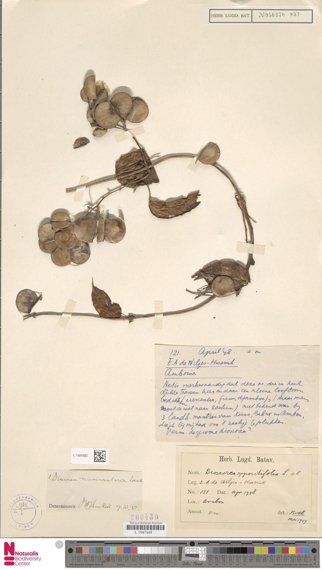 L.1464880 | Dioscorea oppositifolia L.