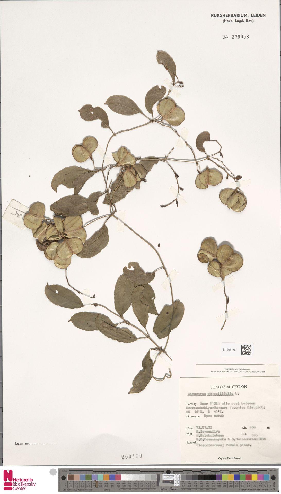 L.1465458 | Dioscorea oppositifolia L.