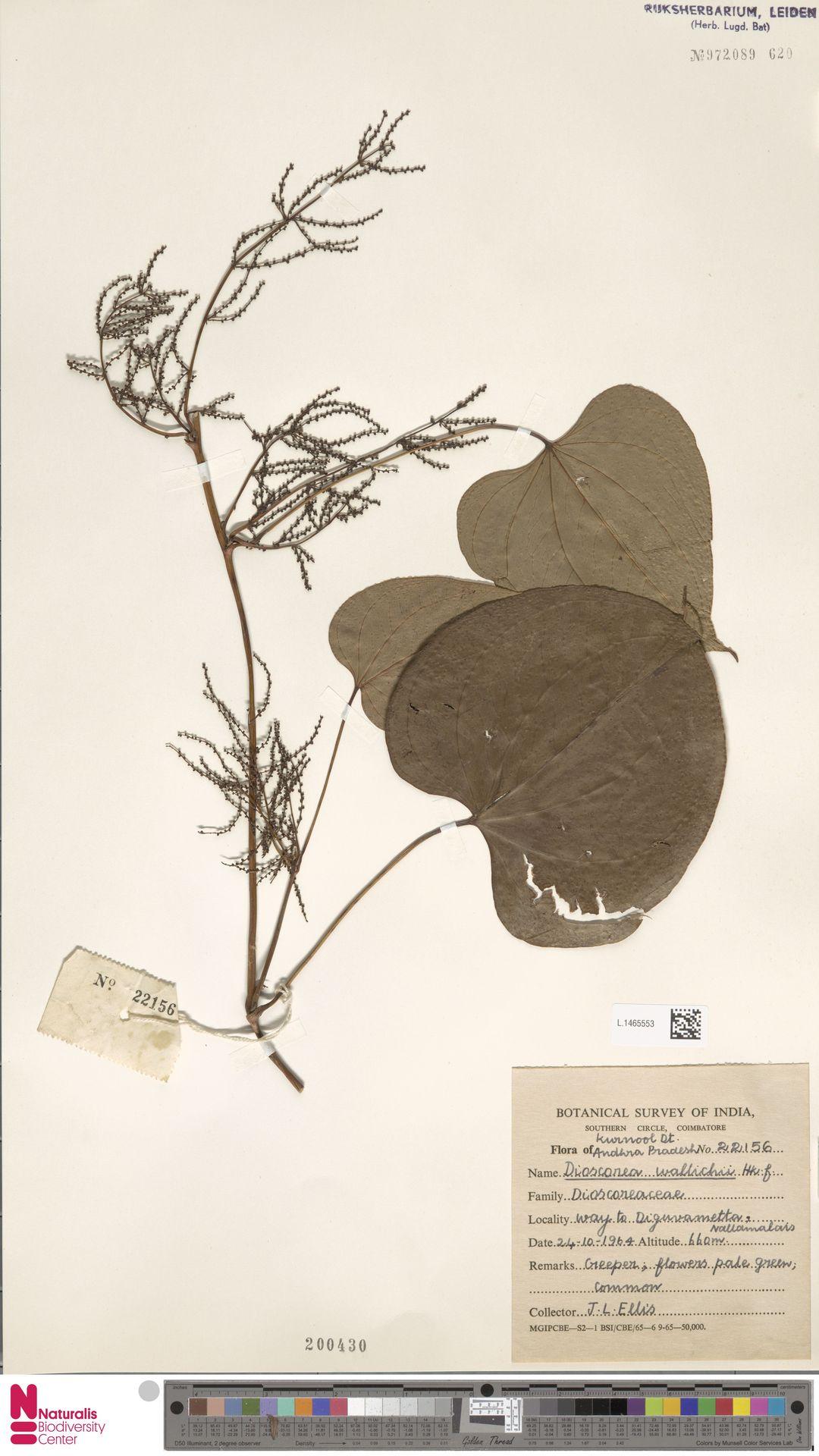 L.1465553 | Dioscorea wallichii Hook.f.