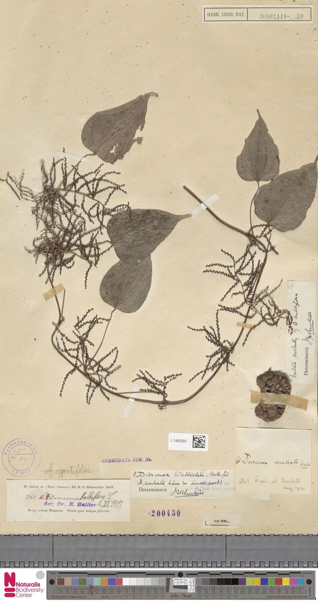 L.1465554 | Dioscorea wallichii Hook.f.