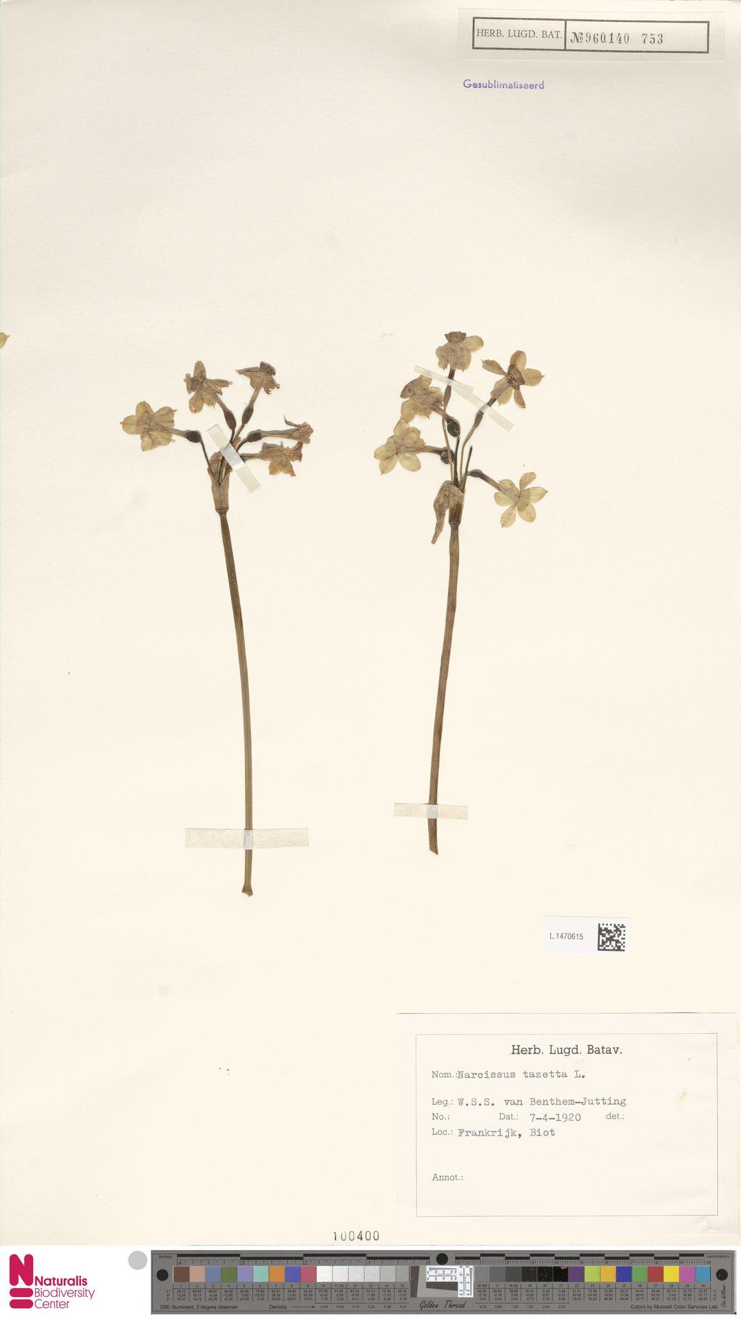 L.1470615 | Narcissus tazetta L.