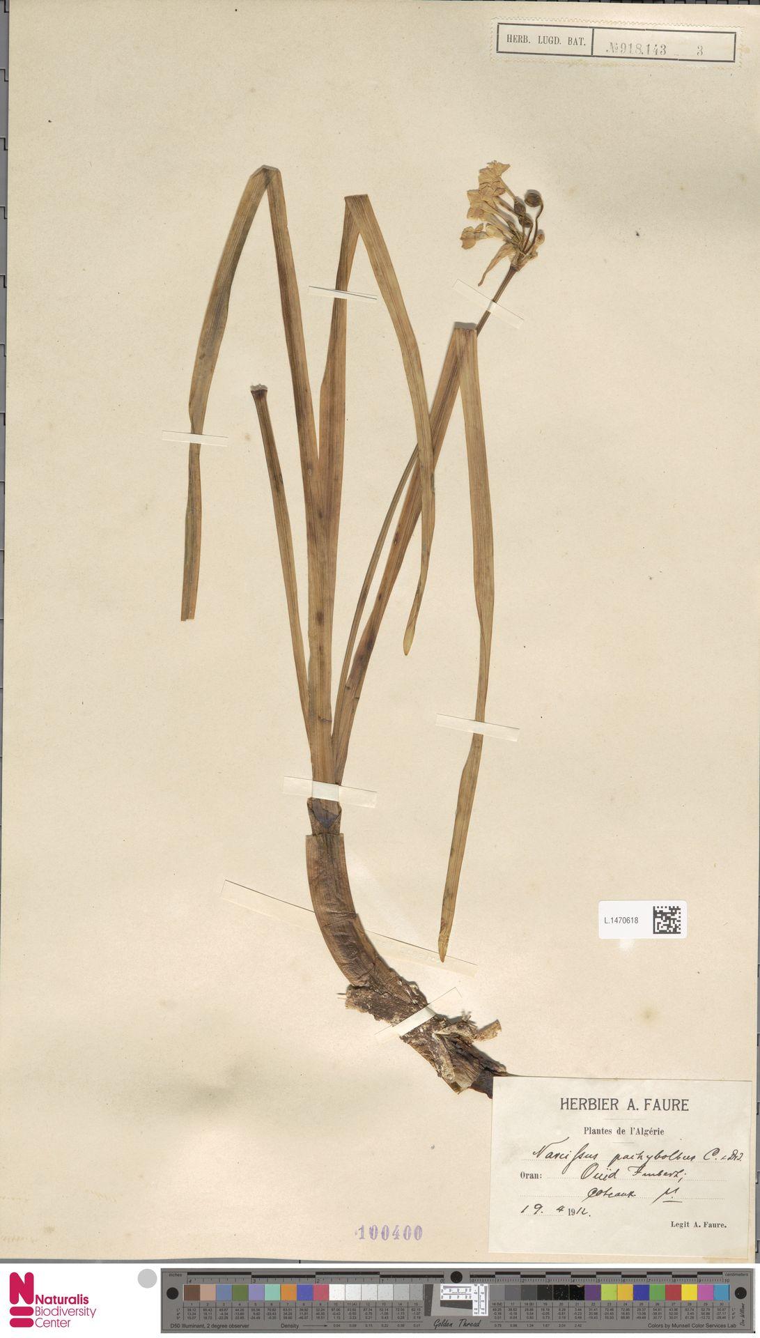 L.1470618 | Narcissus tazetta L.