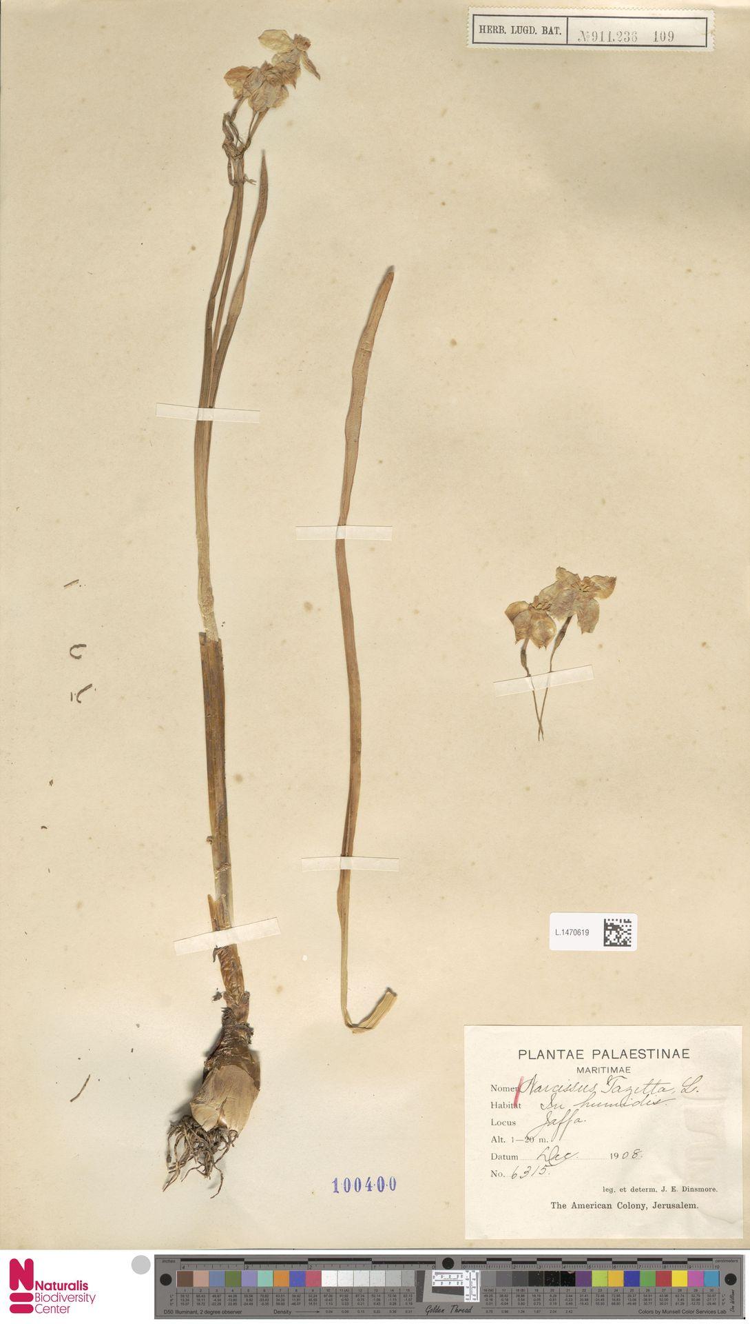 L.1470619   Narcissus tazetta L.